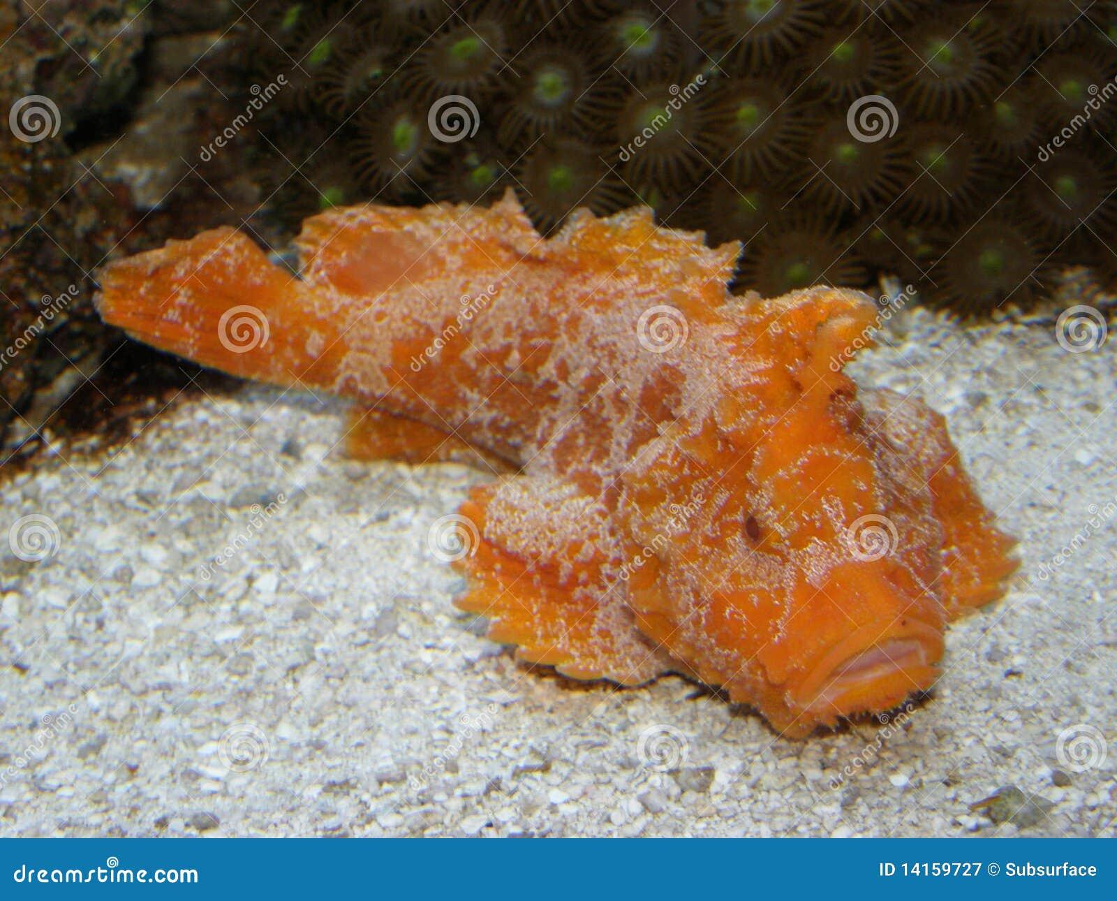 Rare lembeh velvet fish paraploactis kagoshimen stock for Rare saltwater fish