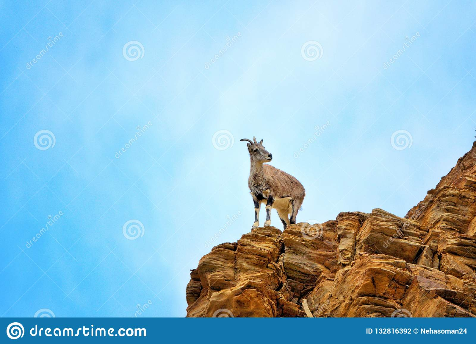 Mountain goat in Leh,