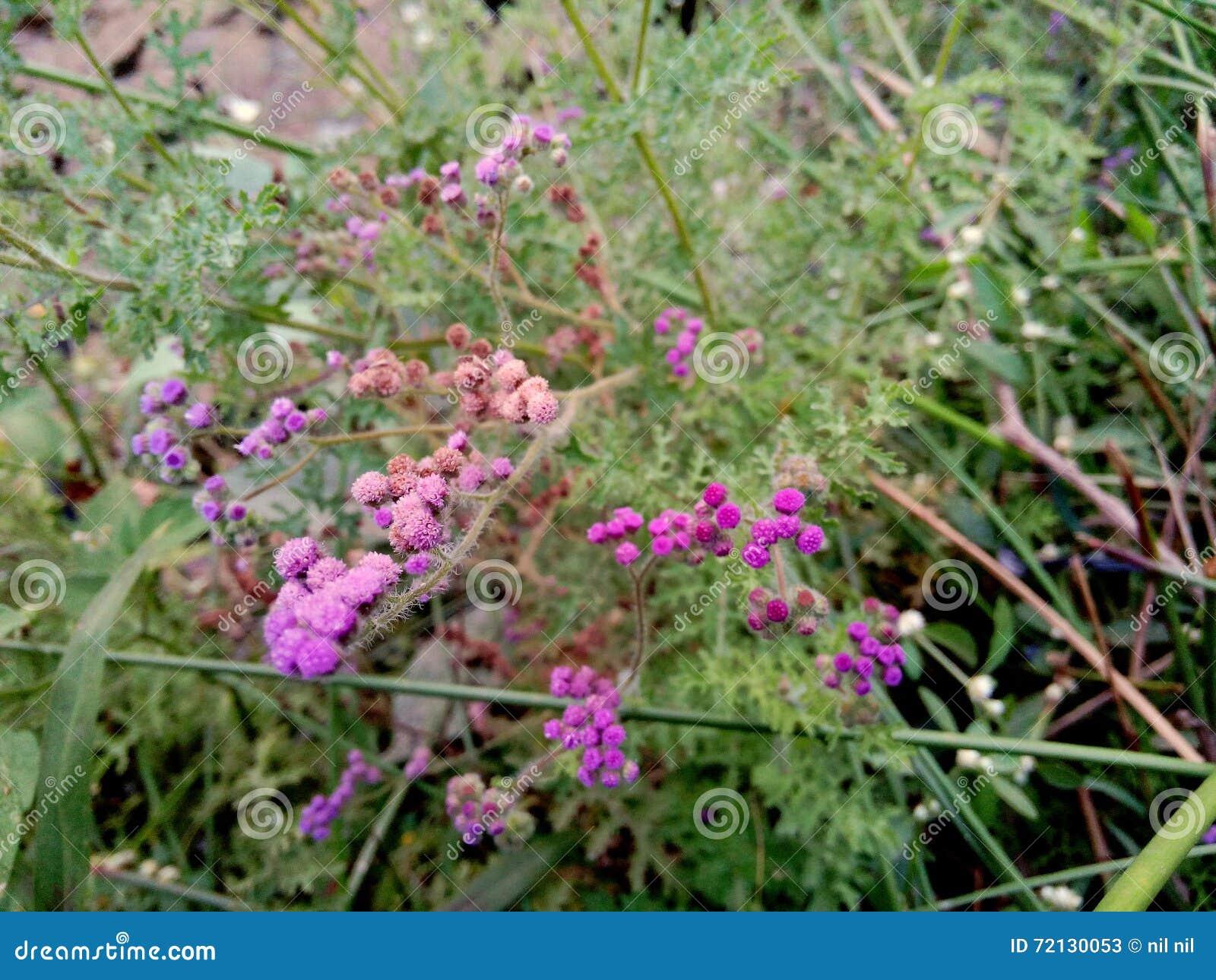 Rare Pink Purple Flowers Stock Image Image Of Multicolor 72130053