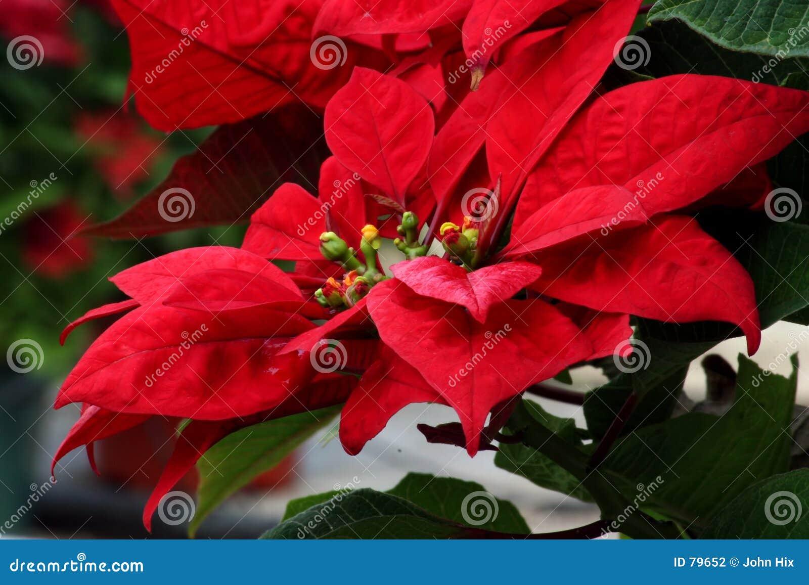 Rare Poinsettia Stock Photography - Image: 79652
