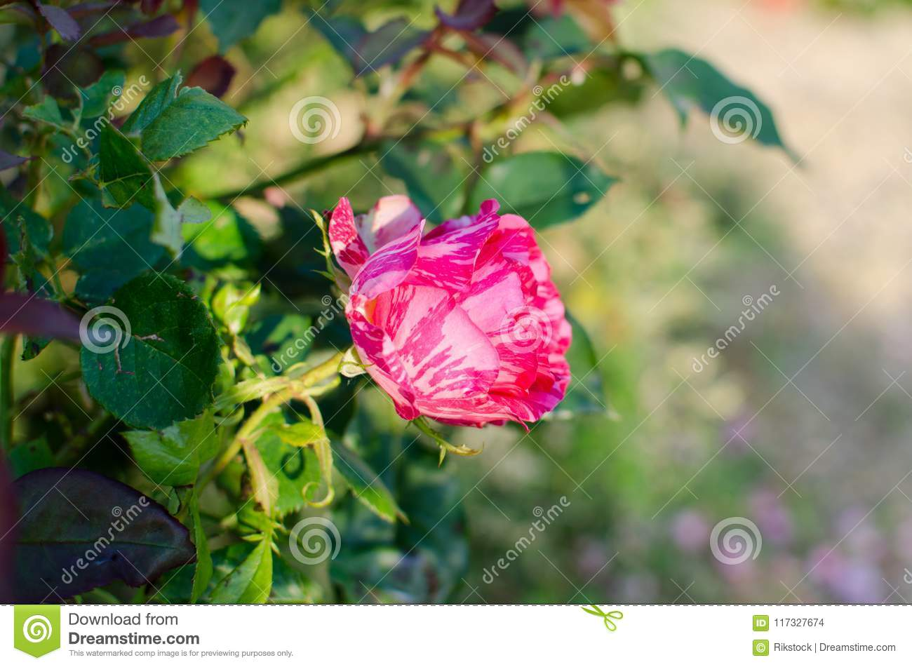 Rare Rose With Unrivaled Beauty Stock Photo Image Of Flower