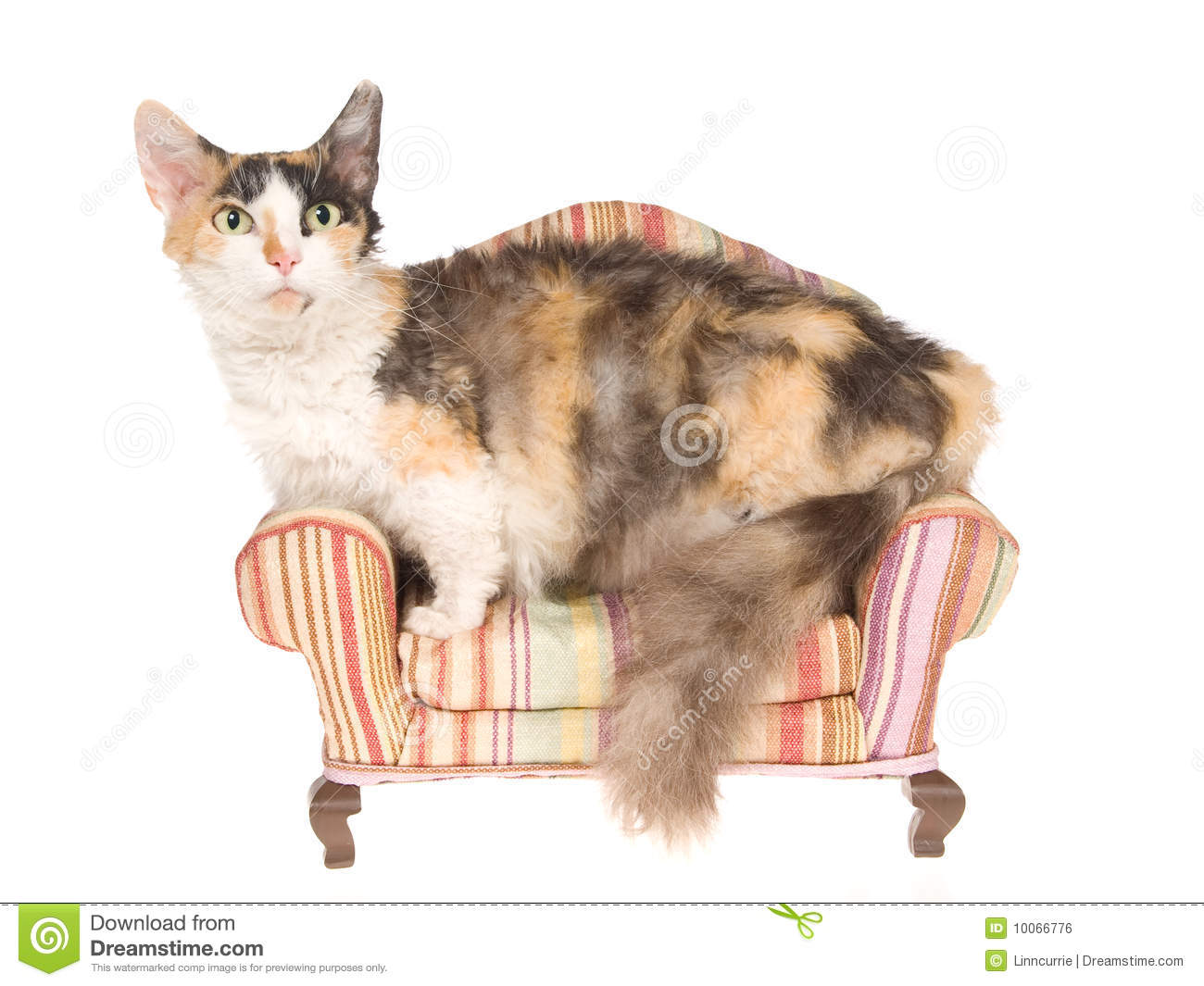 Rare Skookum Cat On Mini Couch Stock Photo - Image: 10066776