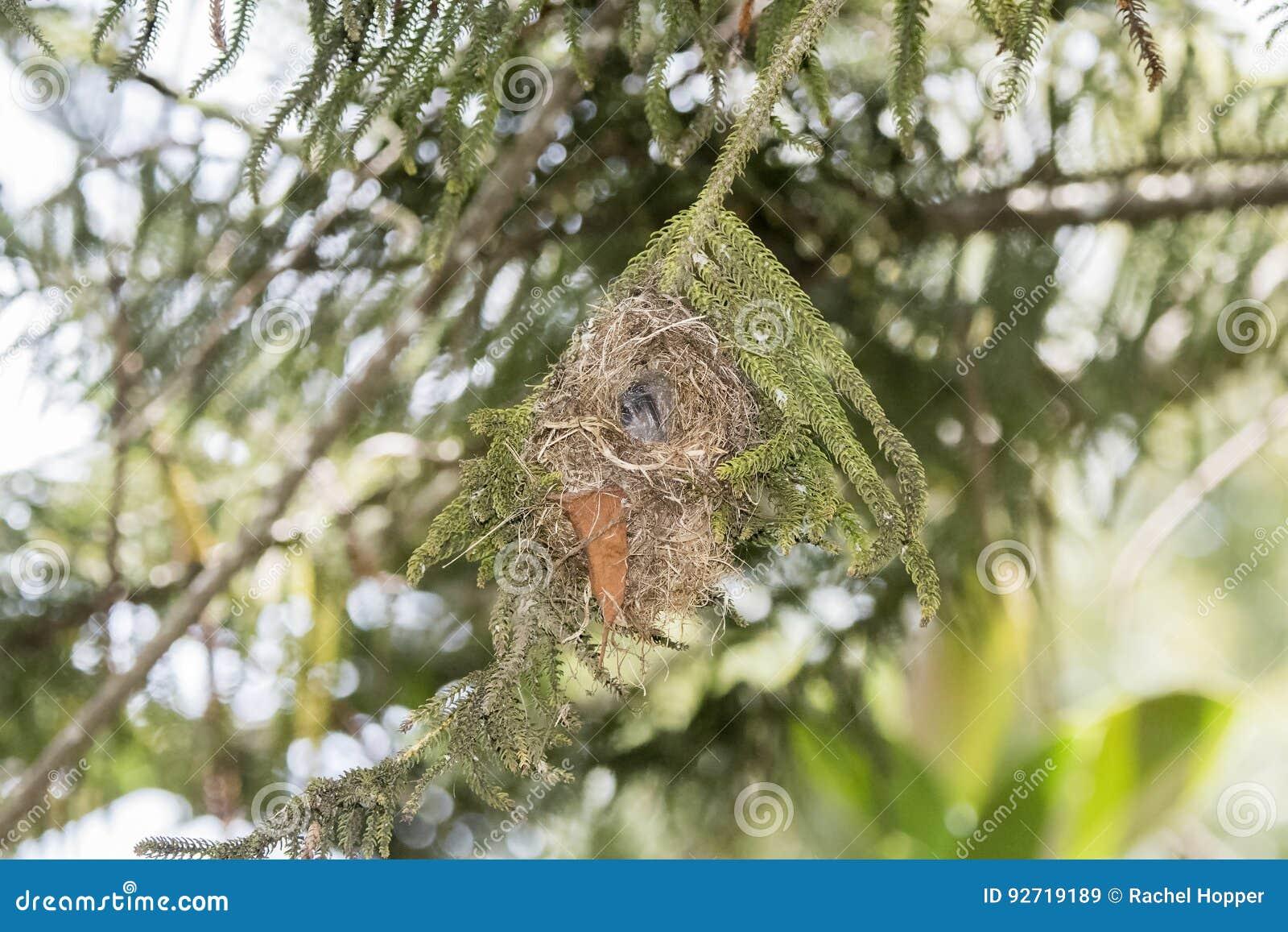 The Rare, Threatened, & Endemic Female Usambara Double-collared Sunbir