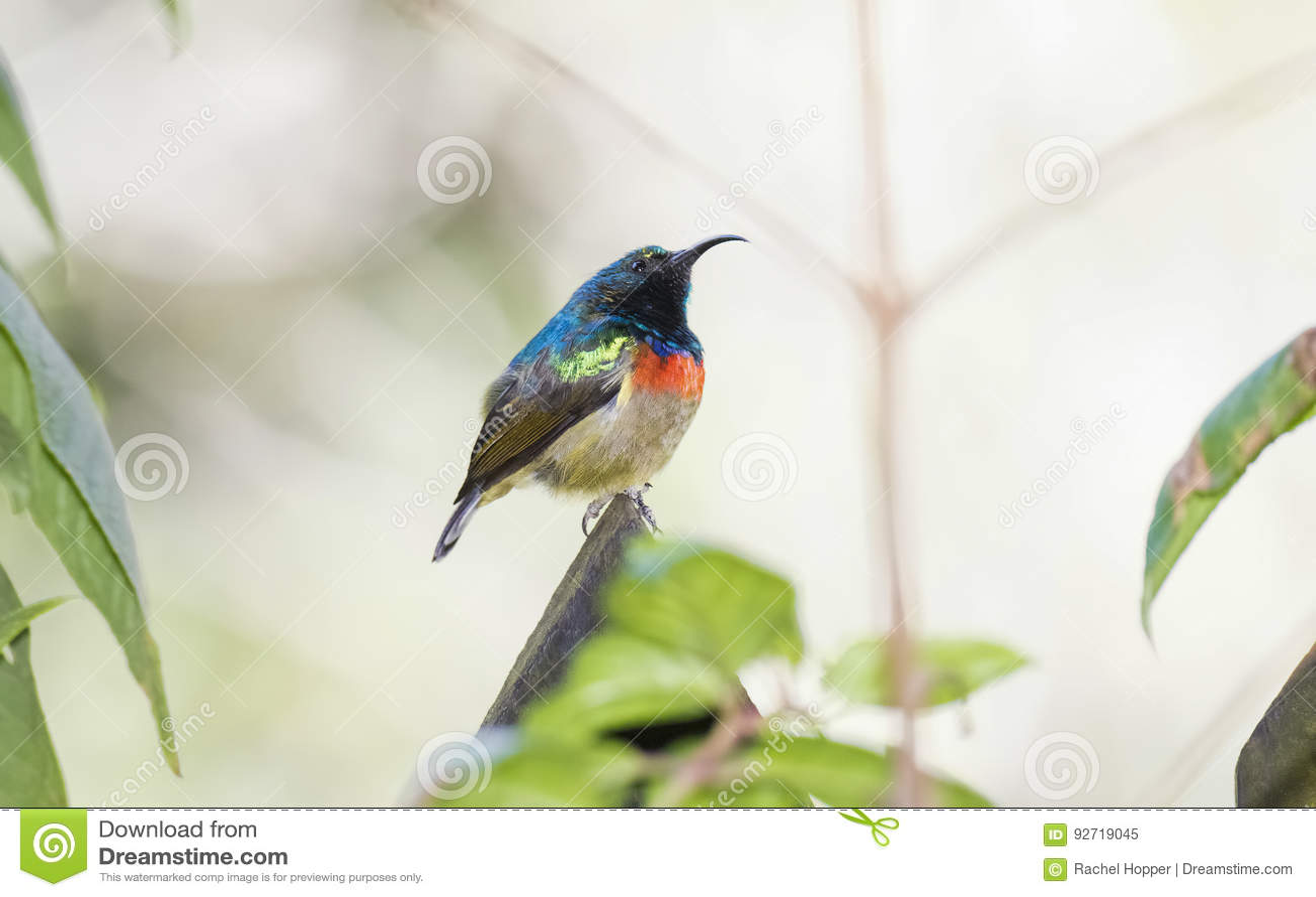 The Rare, Threatened, & Endemic Male Usambara Double-collared Sunbird
