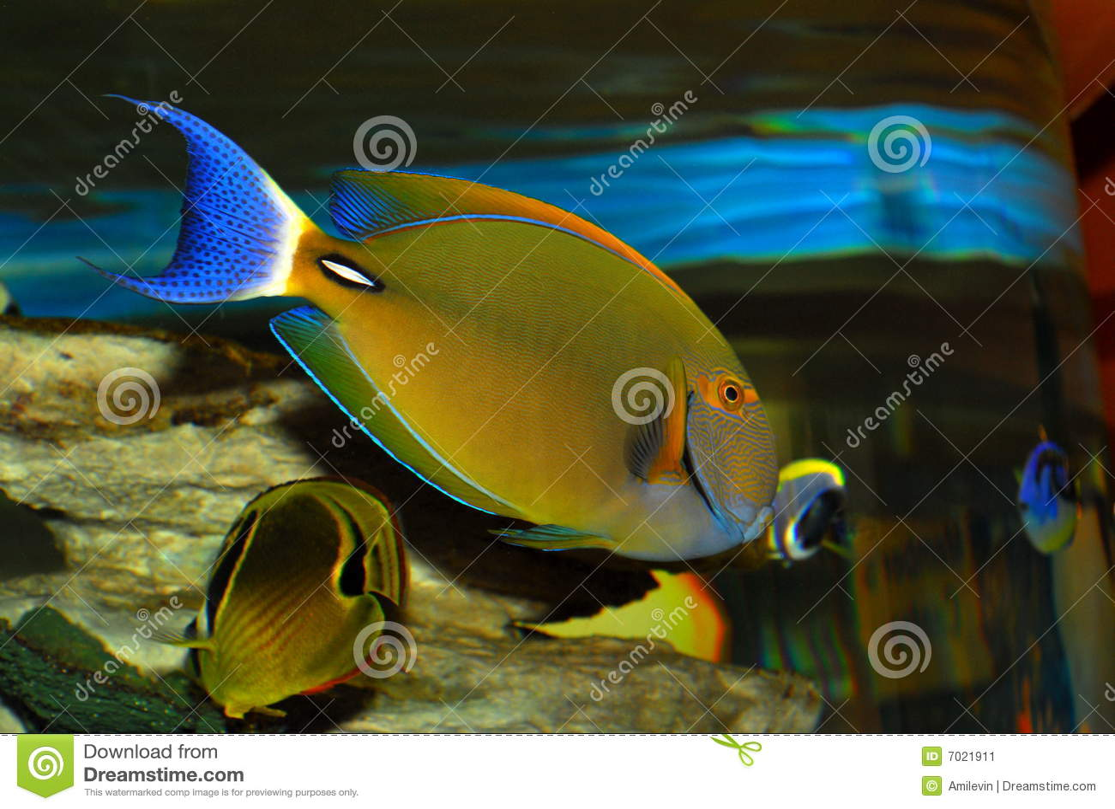 Rare Tropical Fish Stock Image Image 7021911