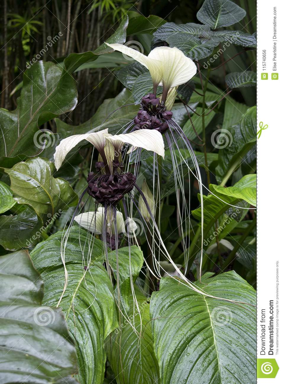 Rare white bat flower Tacca chantrieri tropical plant with black center and long whiskers
