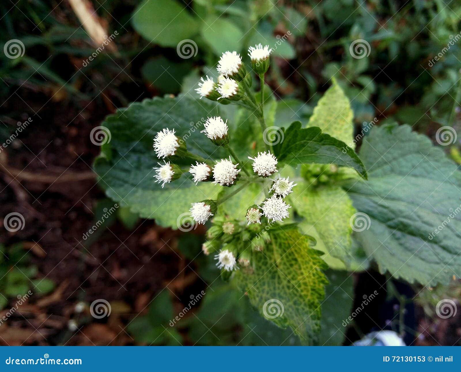 Rare White Flowers Stock Image Image Of Wild Nature 72130153