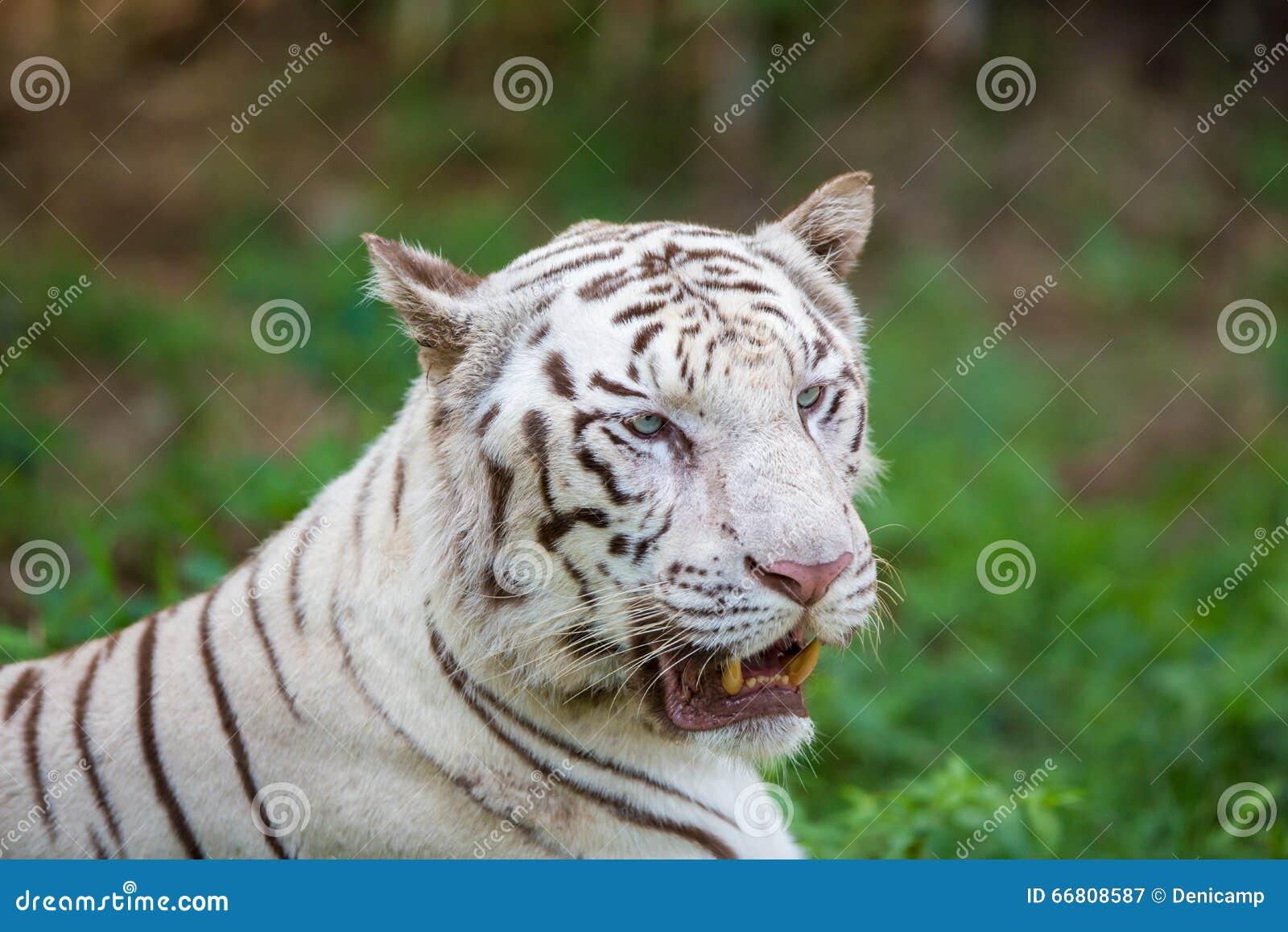 Rare White Tiger Roaming Wild  Stock Image - Image of