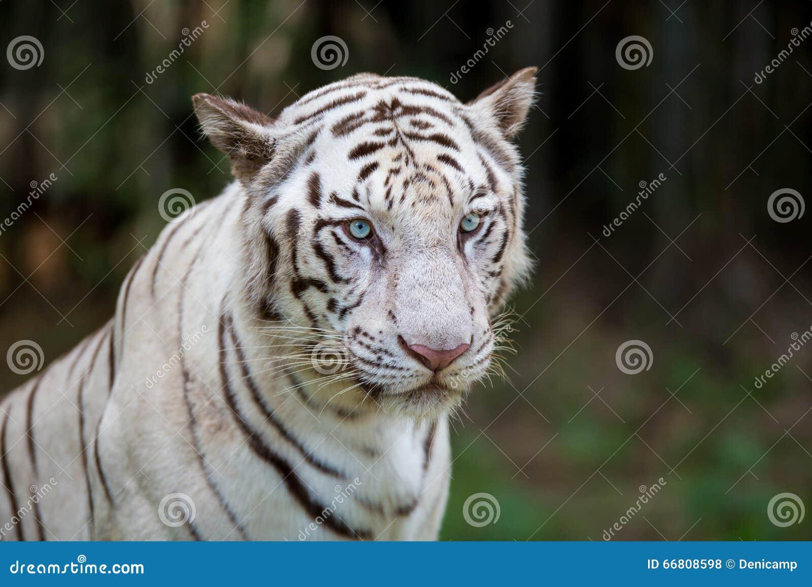 Rare White Tiger Roaming Wild  Stock Photo - Image of