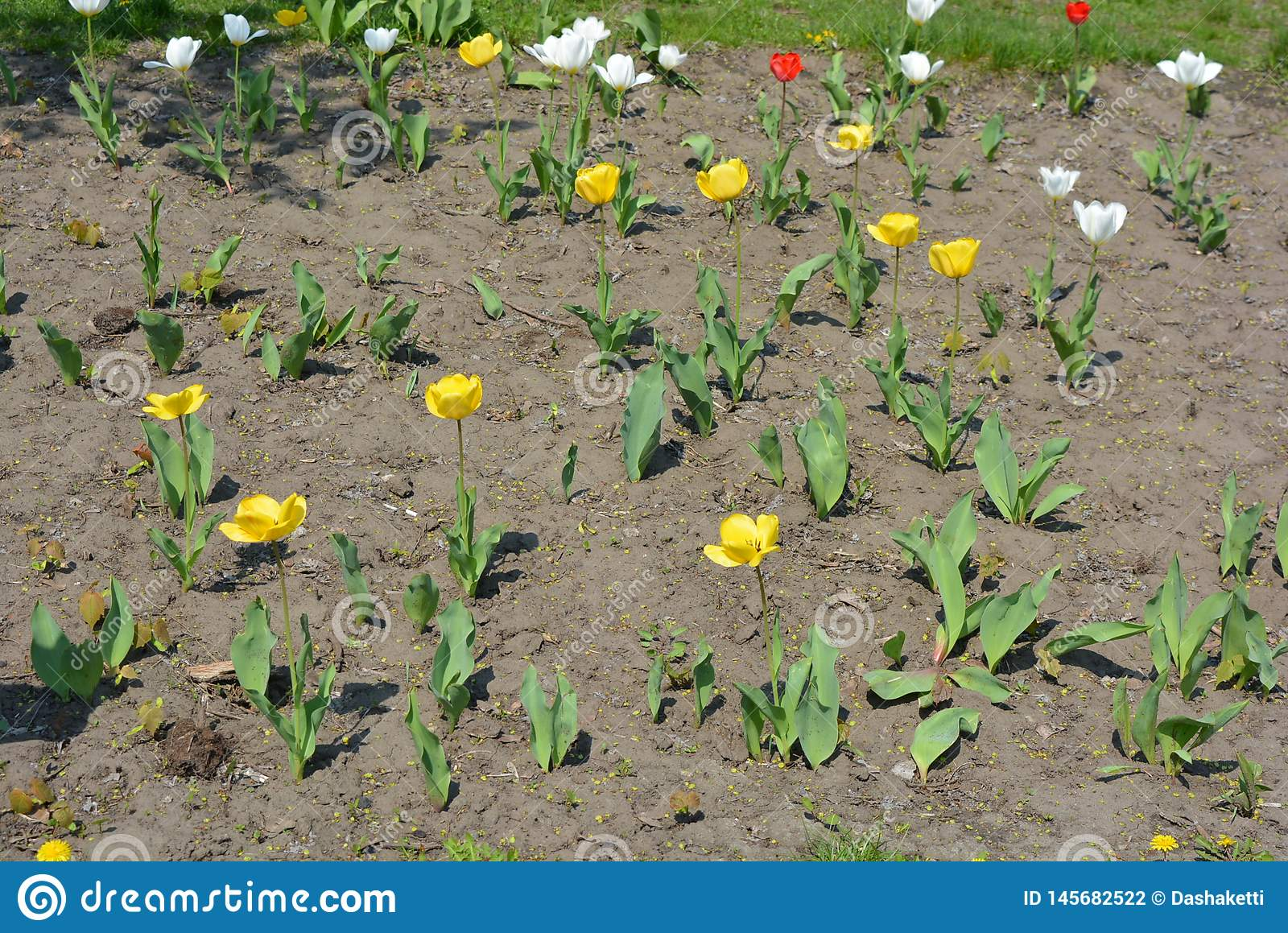 Rarely Planted Bushes Of Spring Flowers Yellow Tulip Buds On A