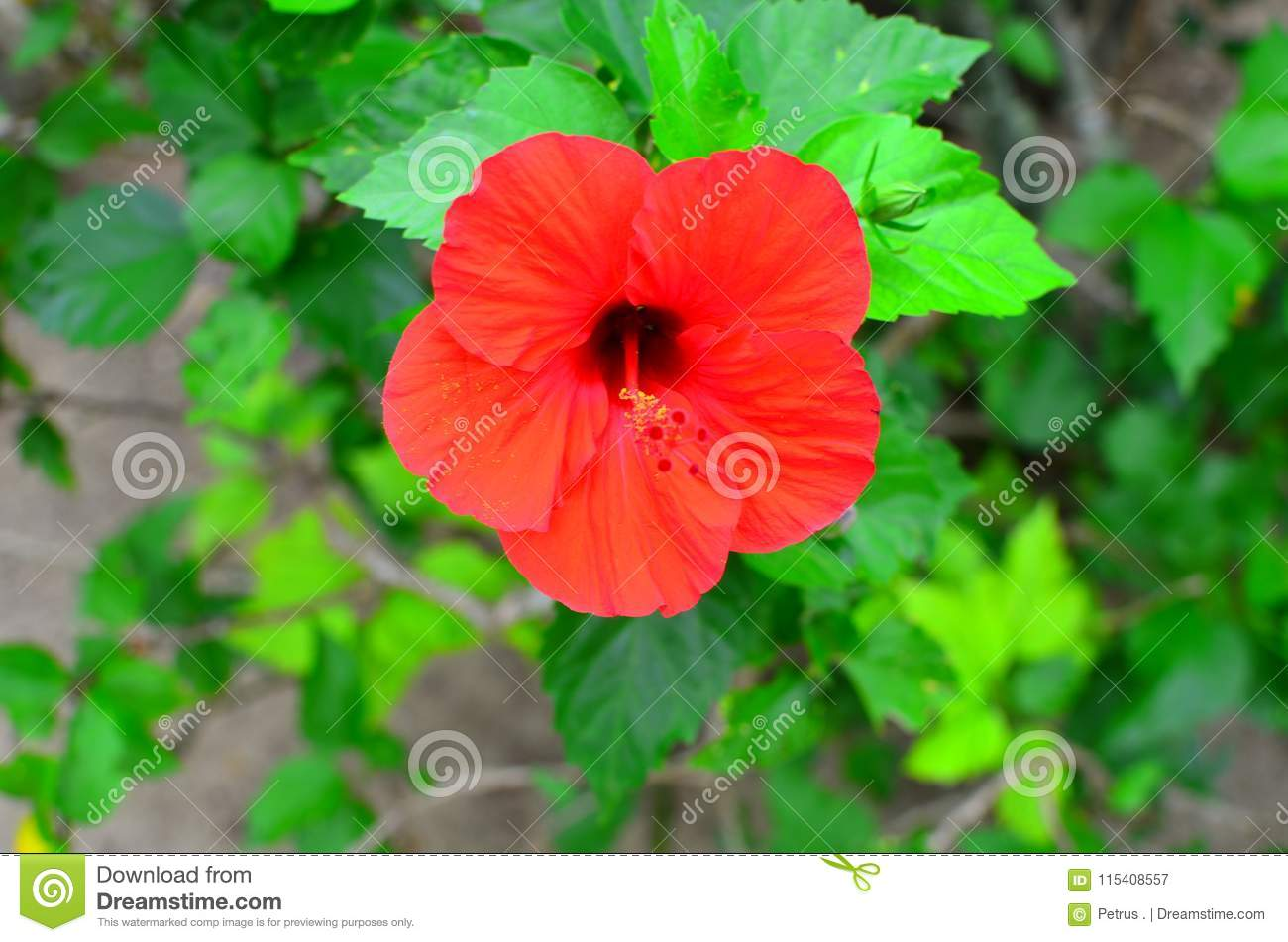 Rarotonga cook islands hibiscus flower stock image image of hibiscus flower in rarotonga cook islands south pacific region extended stamen and anther izmirmasajfo