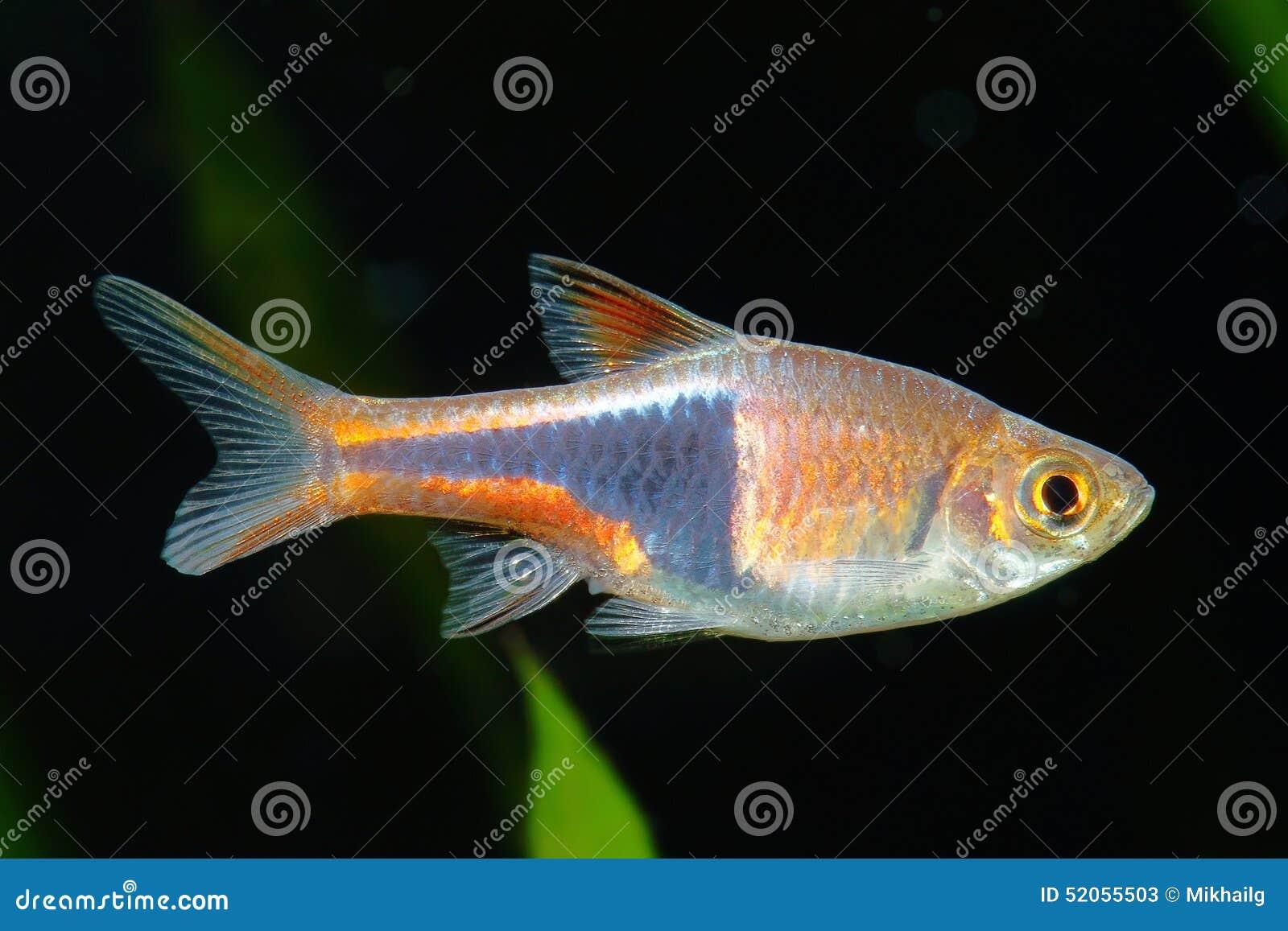 Freshwater aquarium fish rasbora - Rasbora Fish Stock Photos