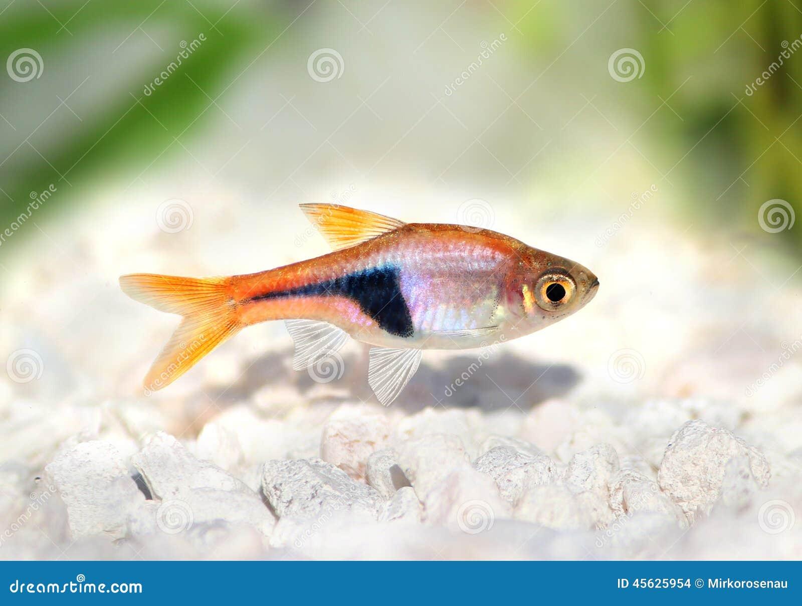 Freshwater aquarium fish rasbora - Rasbora Het Harlequin Rasbora Heteromorpha