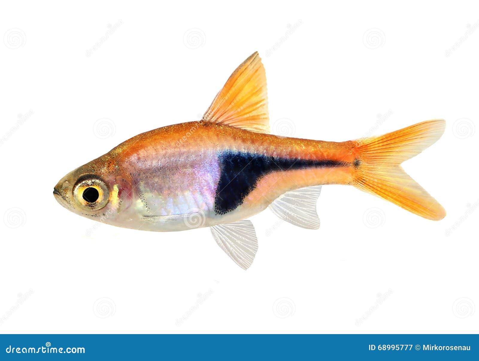 Freshwater aquarium fish rasbora - Rasbora Het Harlequin Rasbora Heteromorpha Freshwater Aquarium Fish
