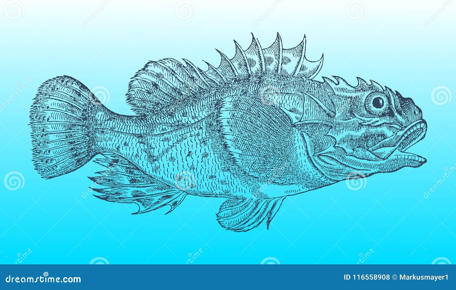Rascasso do Shorthorn ou escorpião de mar curto-spined na opinião do perfil após um mal histórico ou do vintage do bloco xilográf