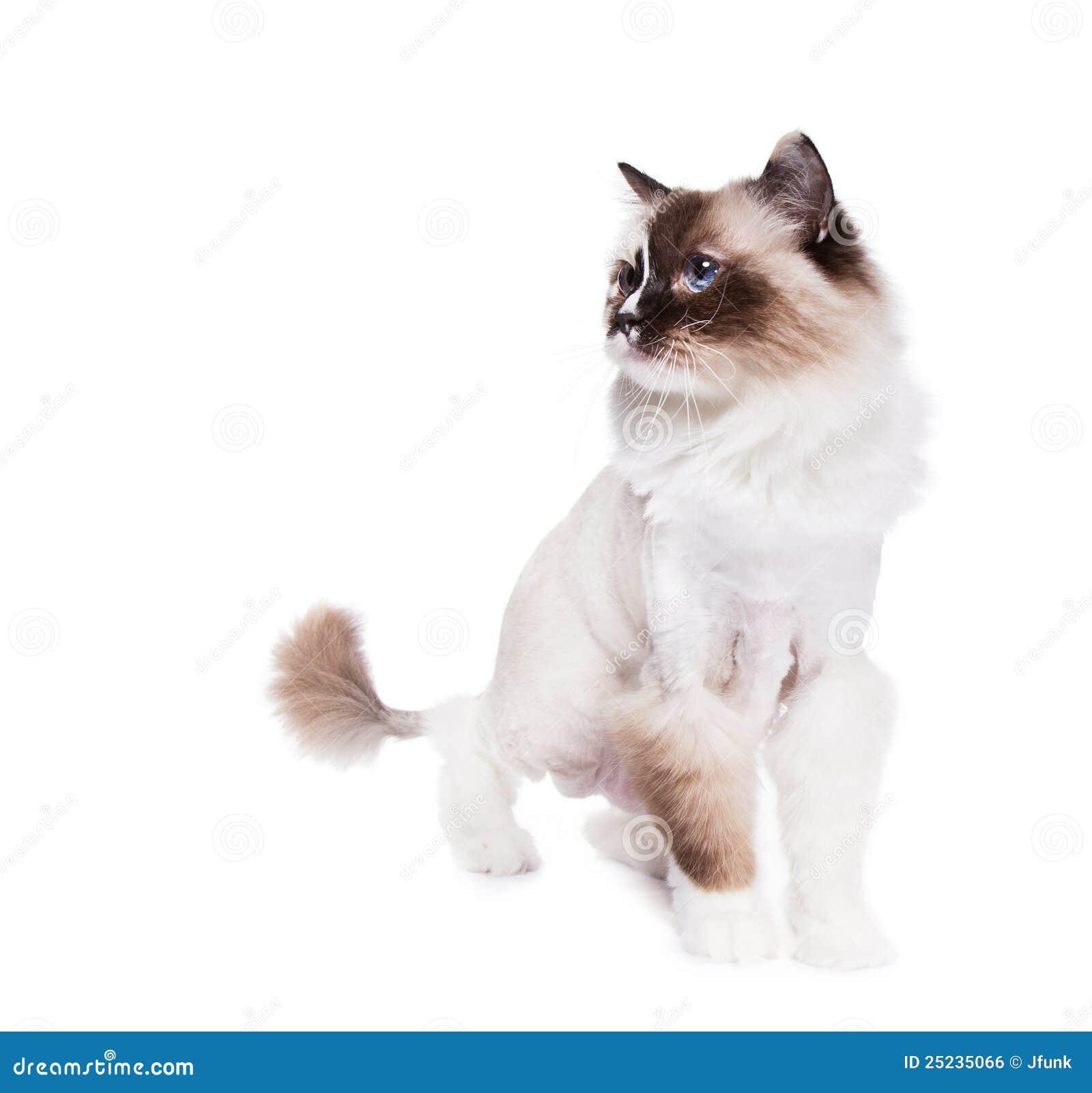 Rasierte Katze