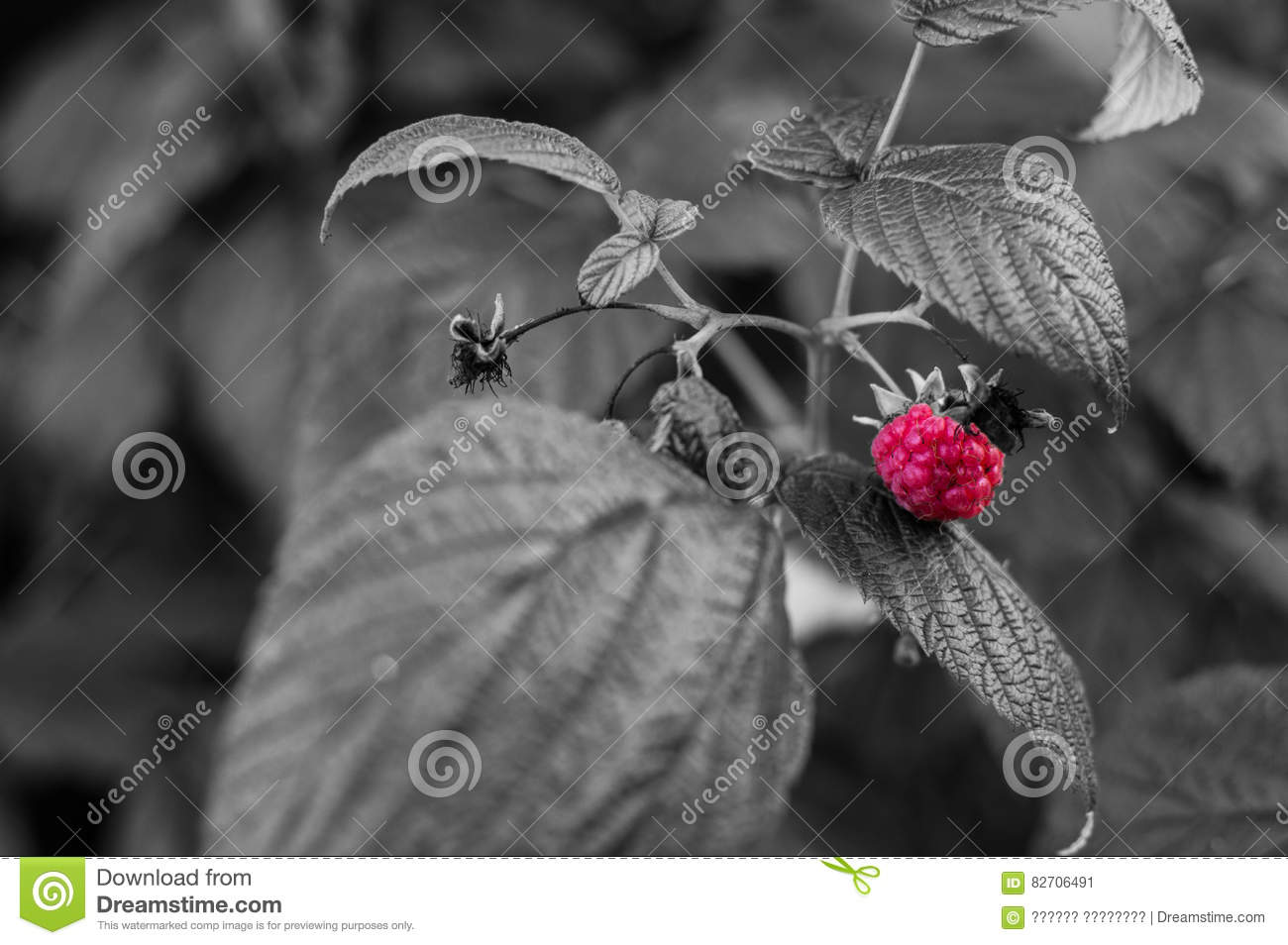Accent color raspberry berry bright red on a black and white photo color splash