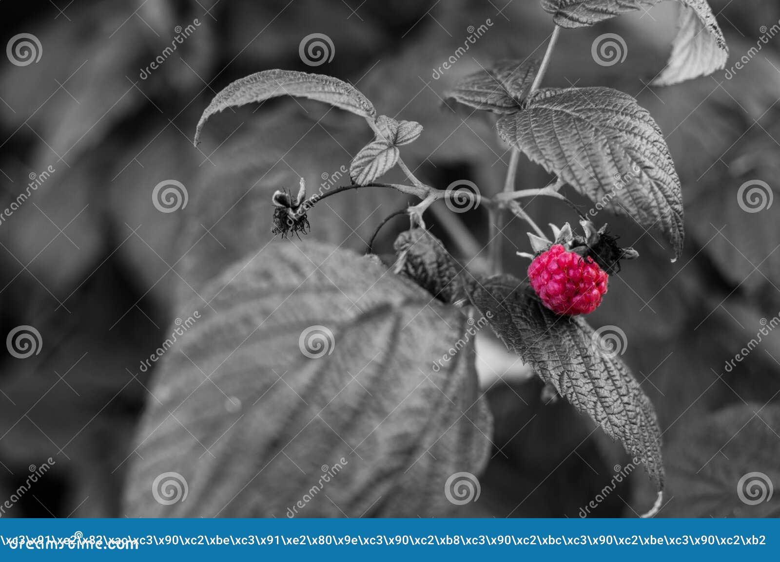 Image Of Black White Berry Splash