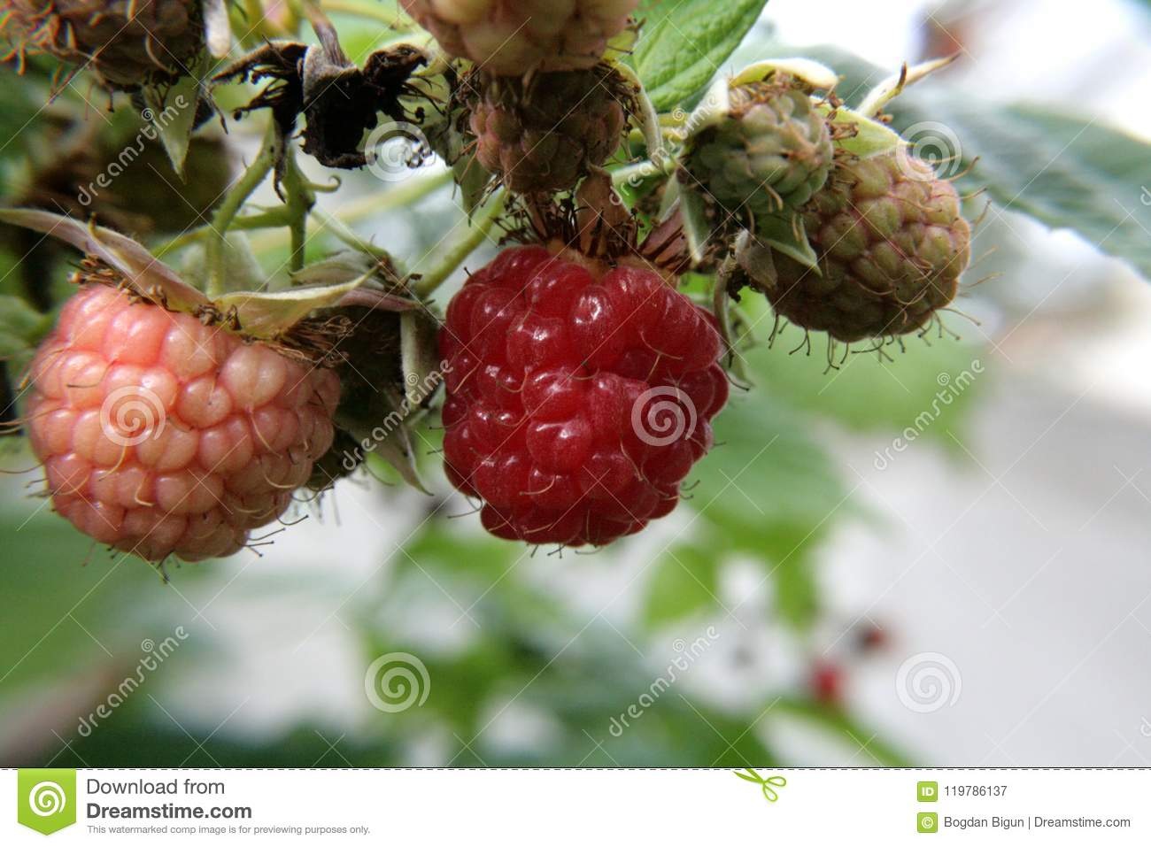 Raspberry Berry In The Garden Stock Image - Image of similar