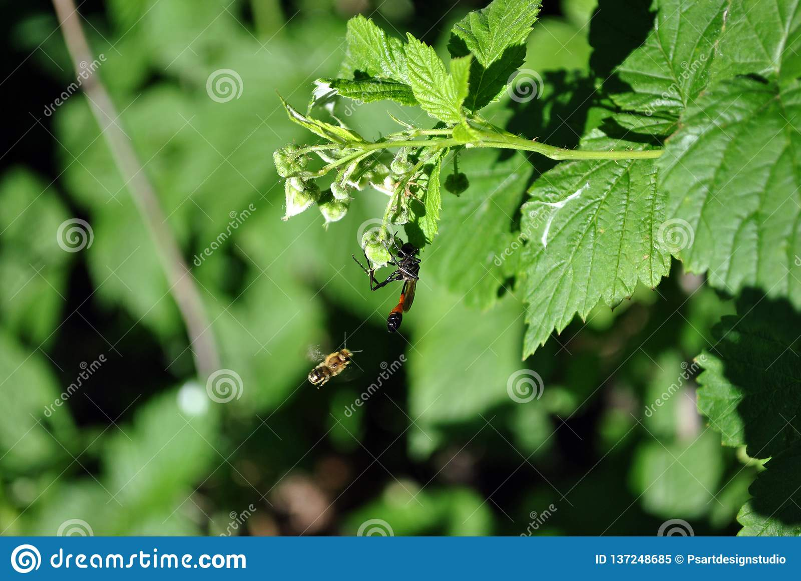 Raspberry flowers buds with wild wasp om it and bee flying near, green bush soft blurry bokeh