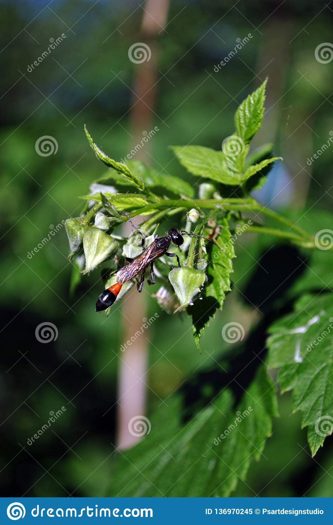 Raspberry flowers buds with wild wasp sitting on it close up detail, green bush soft background