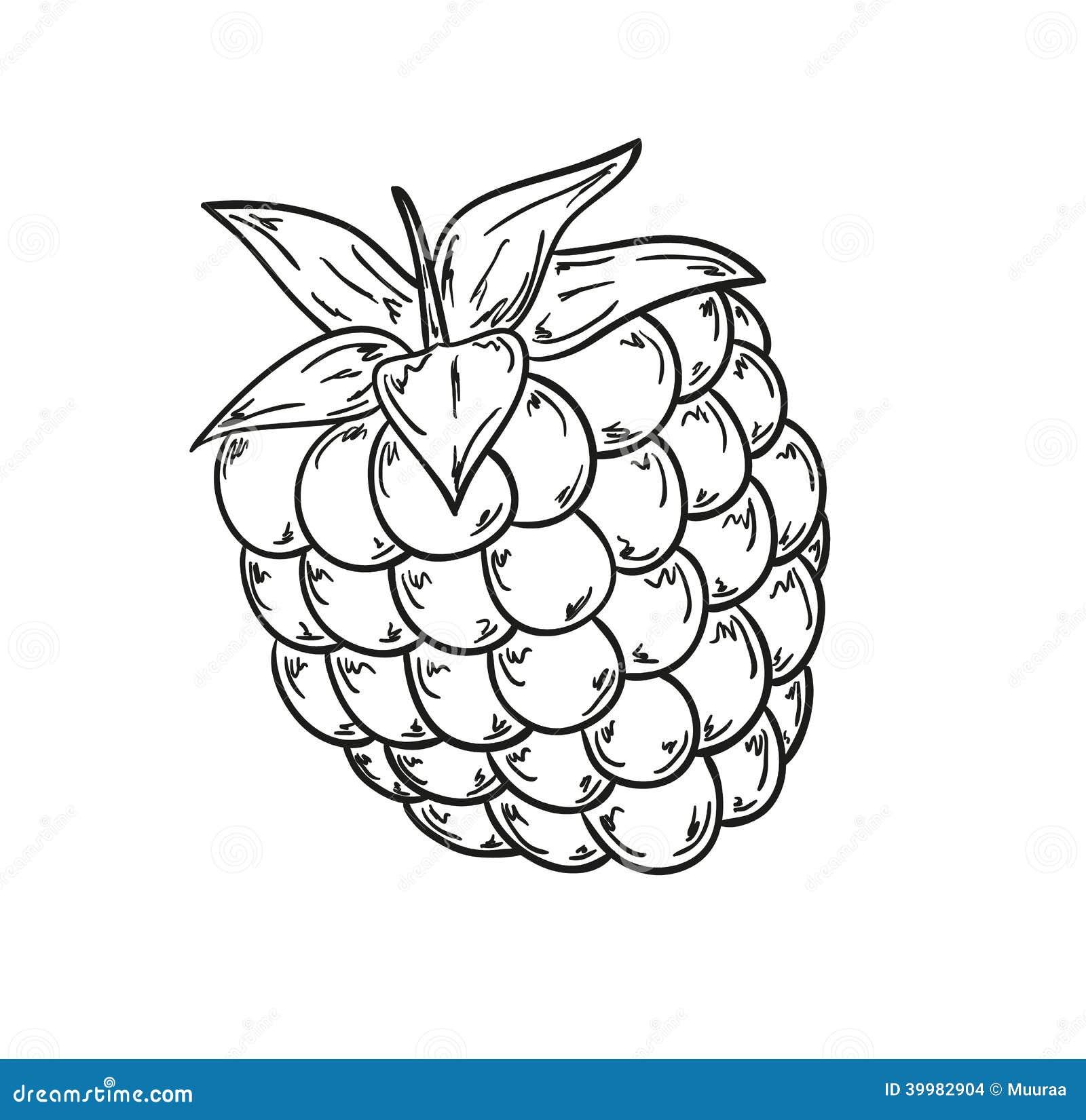 Raspberry sketch stock illustration. Illustration of drawn ...