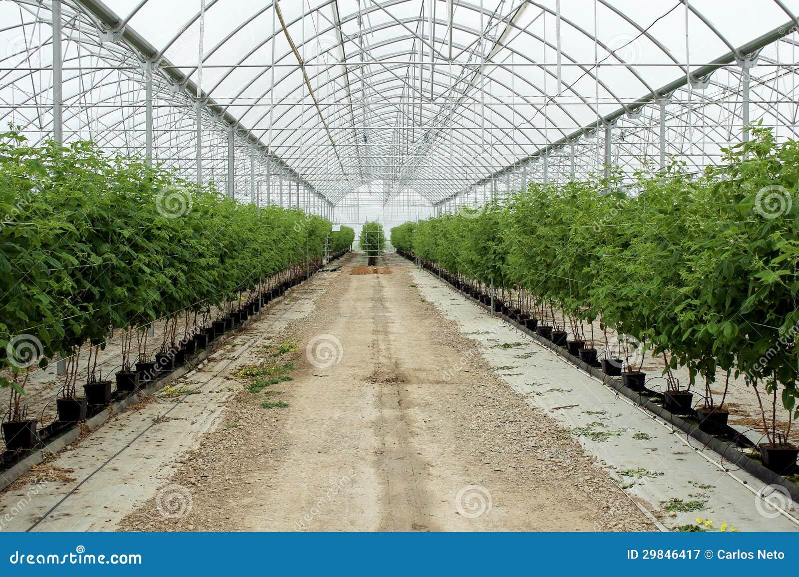Framboesa crescente na plantação hidropónica
