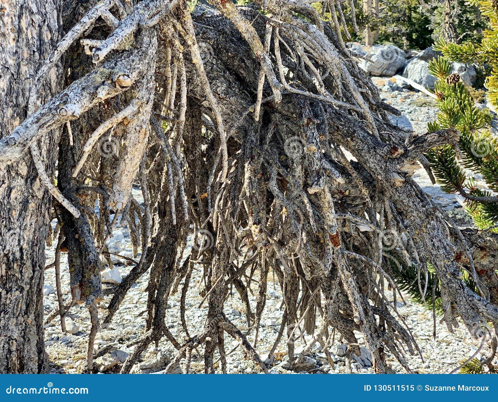 Rastro superior del lazo de Bristlecone, Mt Charleston, Nevada