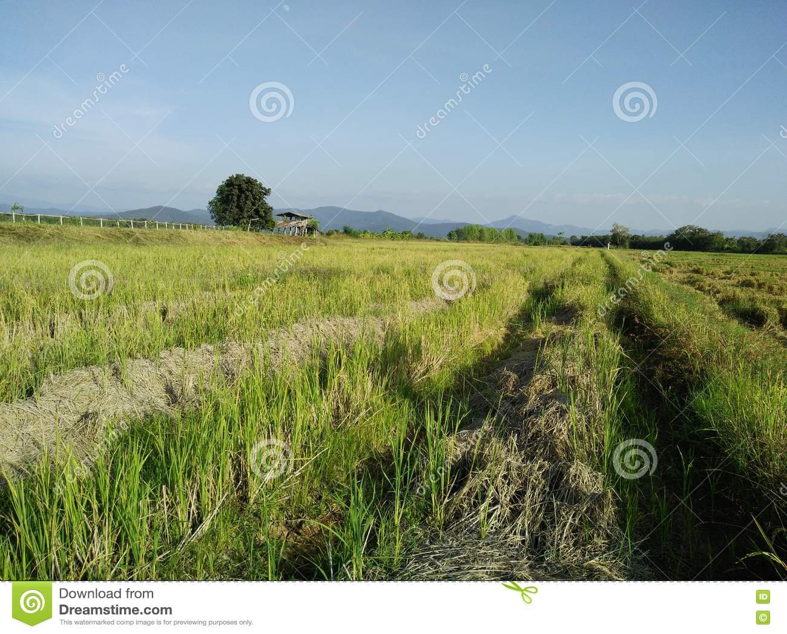 Rastrojo del arroz