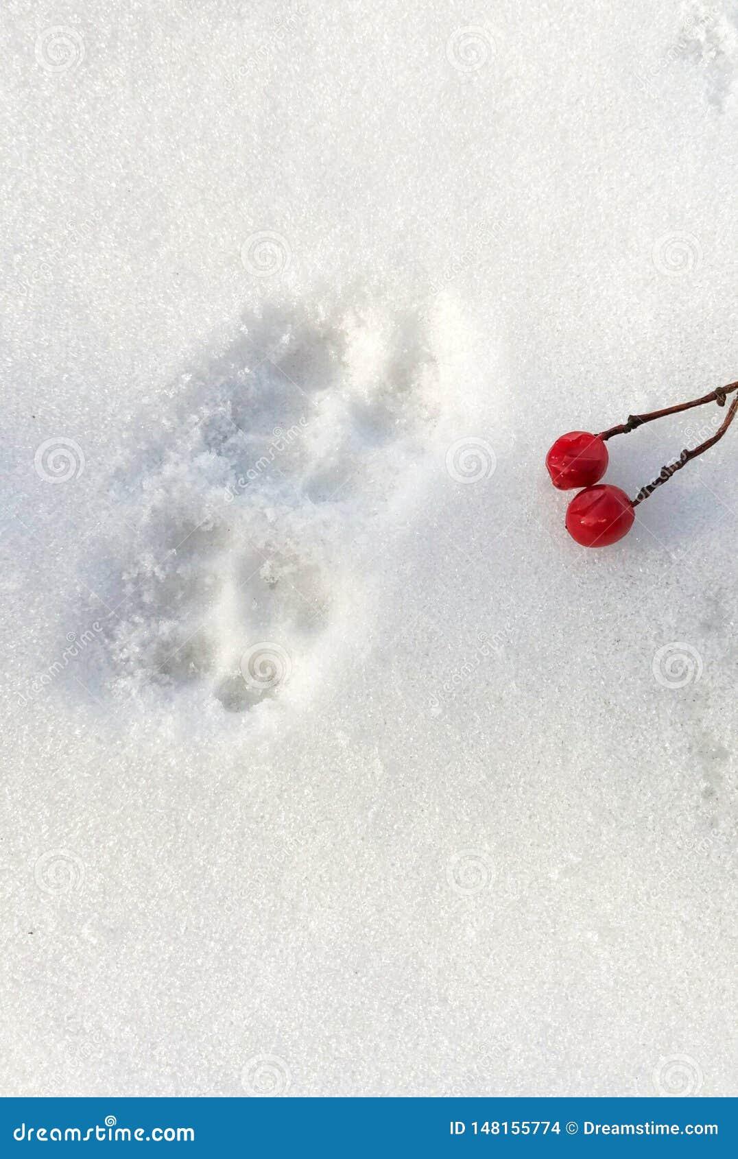 Rastros de patas de un gato y de bayas del viburnum