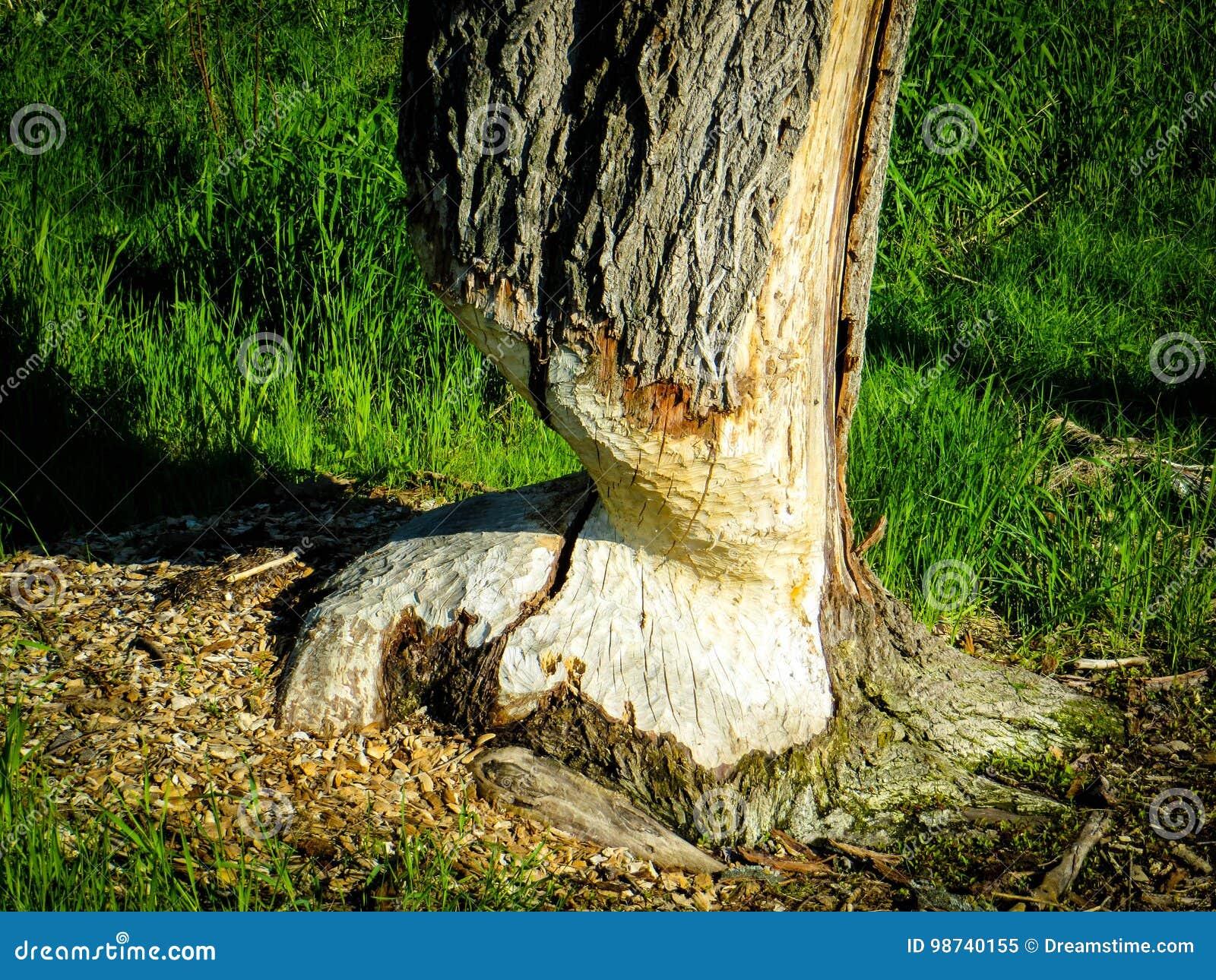 Rastros de un castor en un árbol