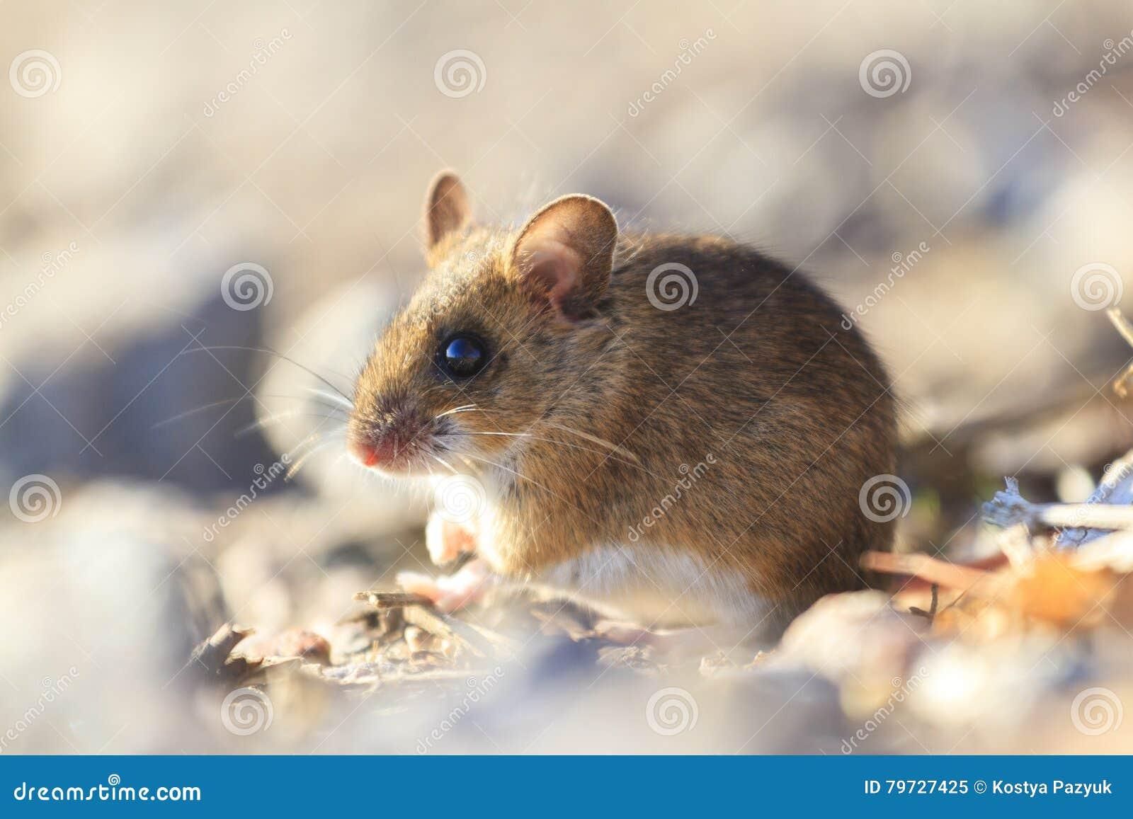 Ratón de campo que se sienta entre las rocas