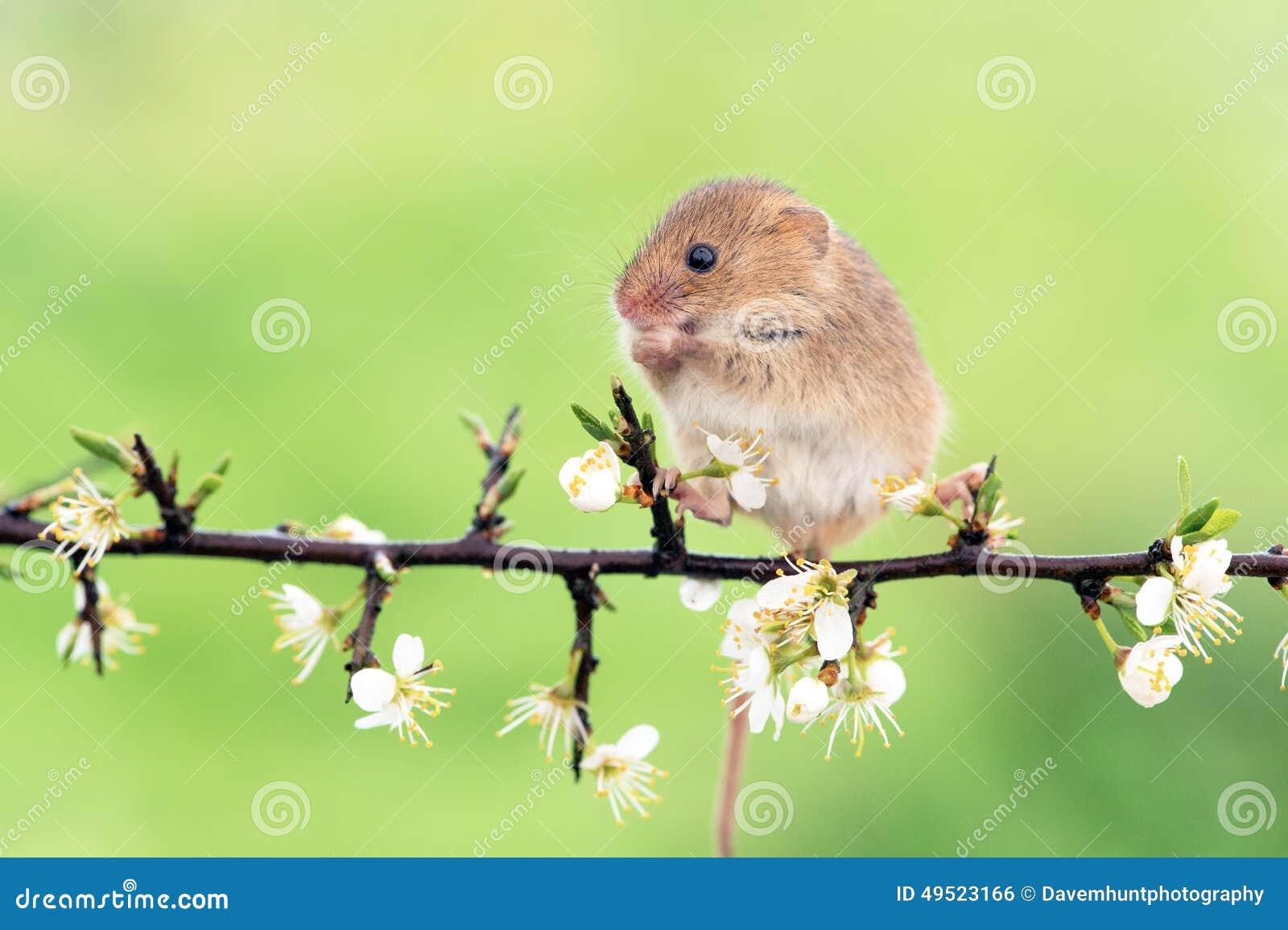 Ratón de campo (sylvaticus del apodemus)