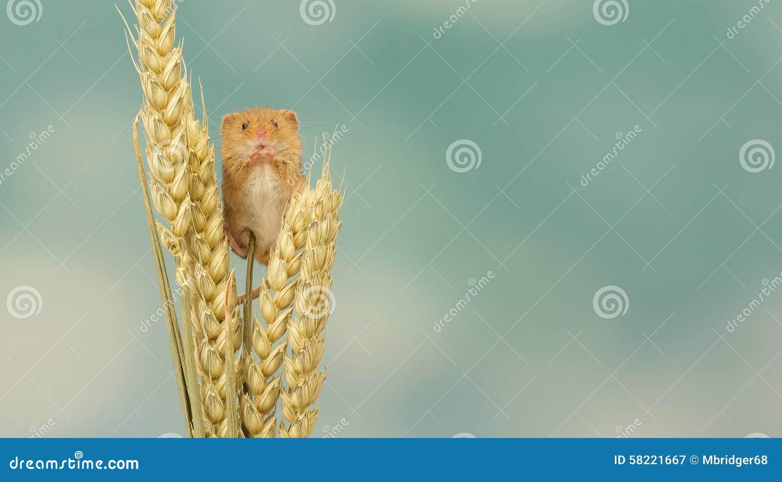Ratón de cosecha