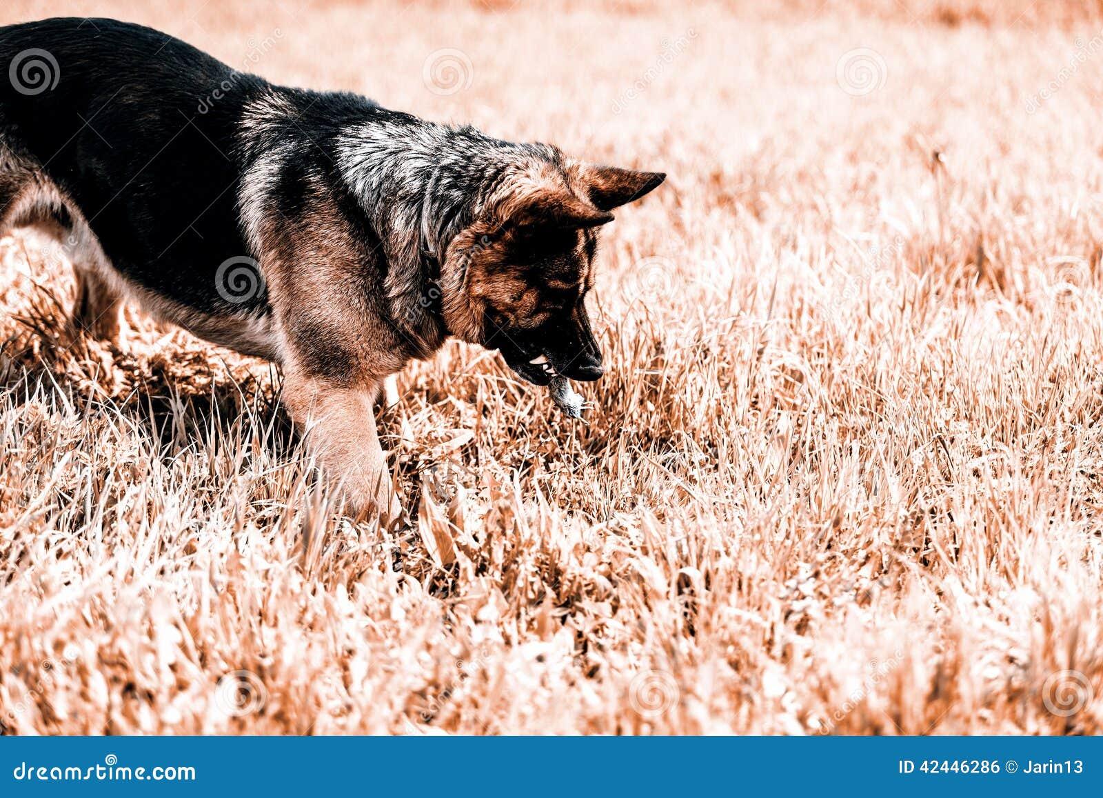 Ratón de la caza del pastor alemán