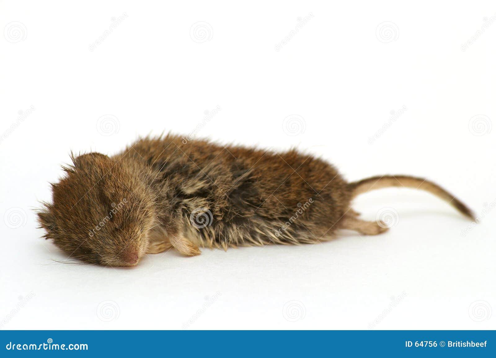 Ratón de madera muerto