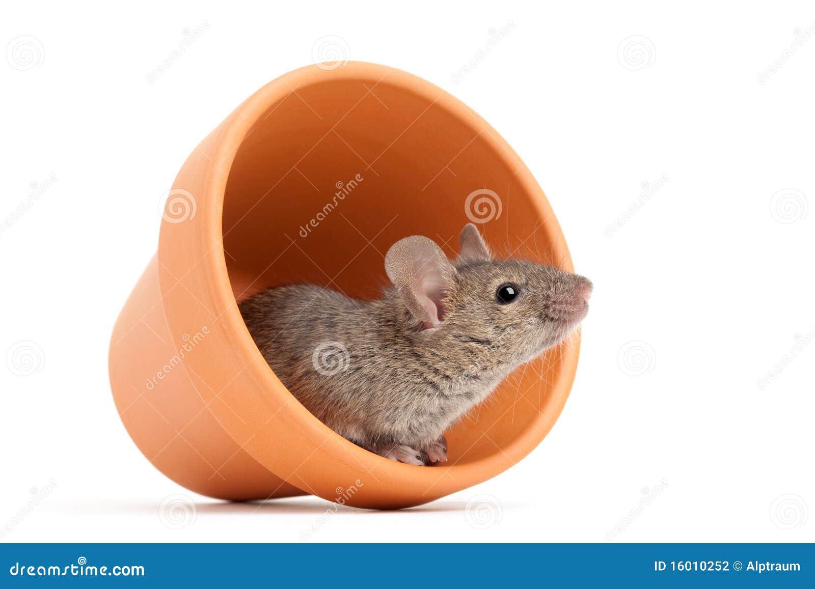 Ratón en el crisol de flor aislado en blanco
