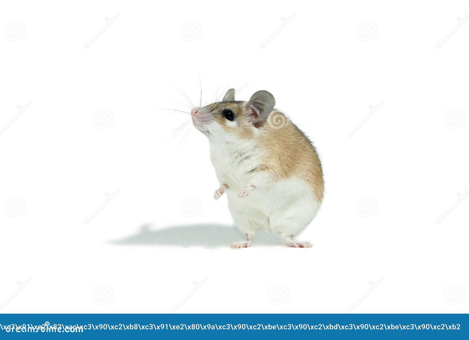 Ratón espinoso amarillo claro aislado