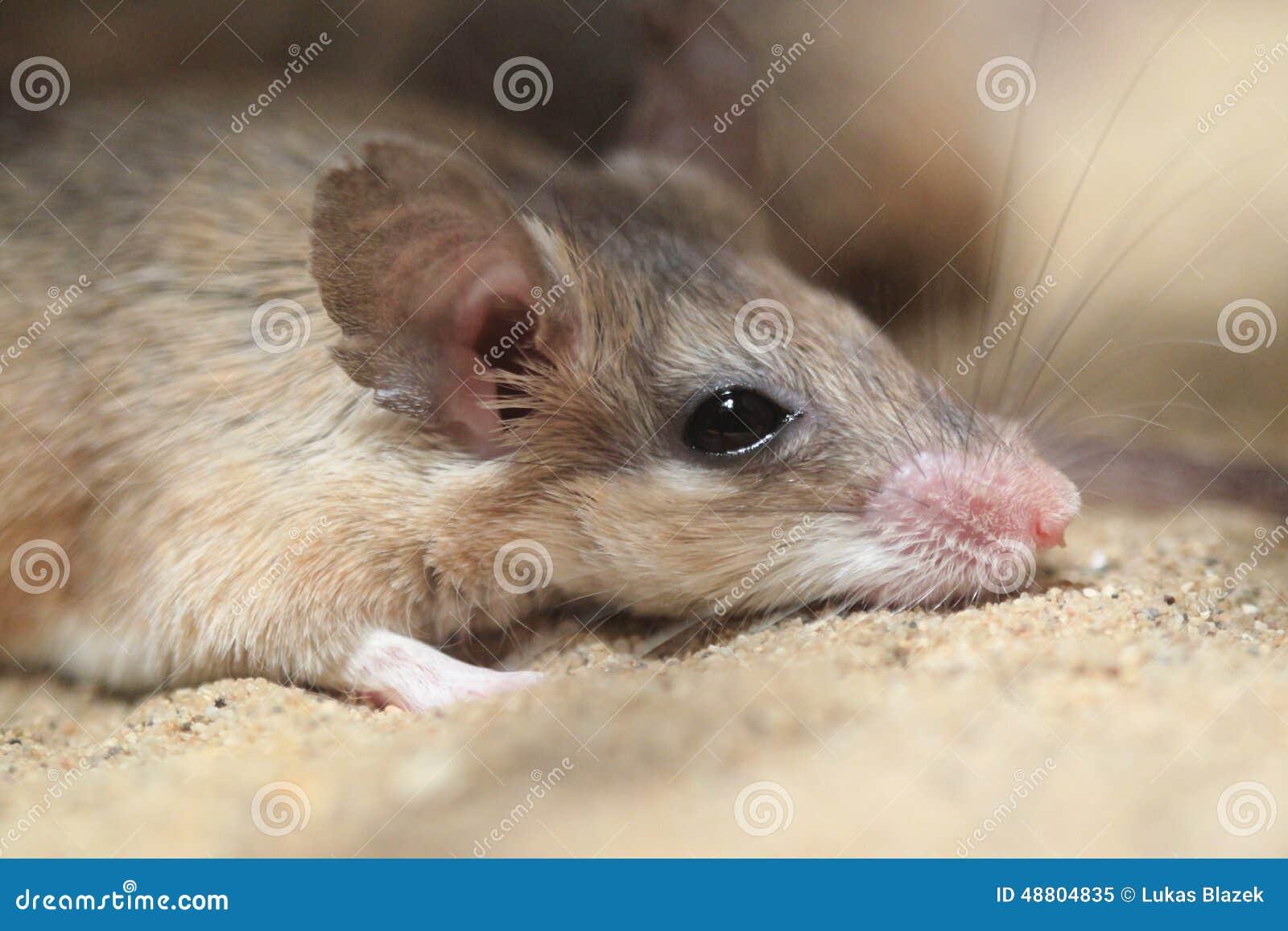 Ratón espinoso de Asia Menor