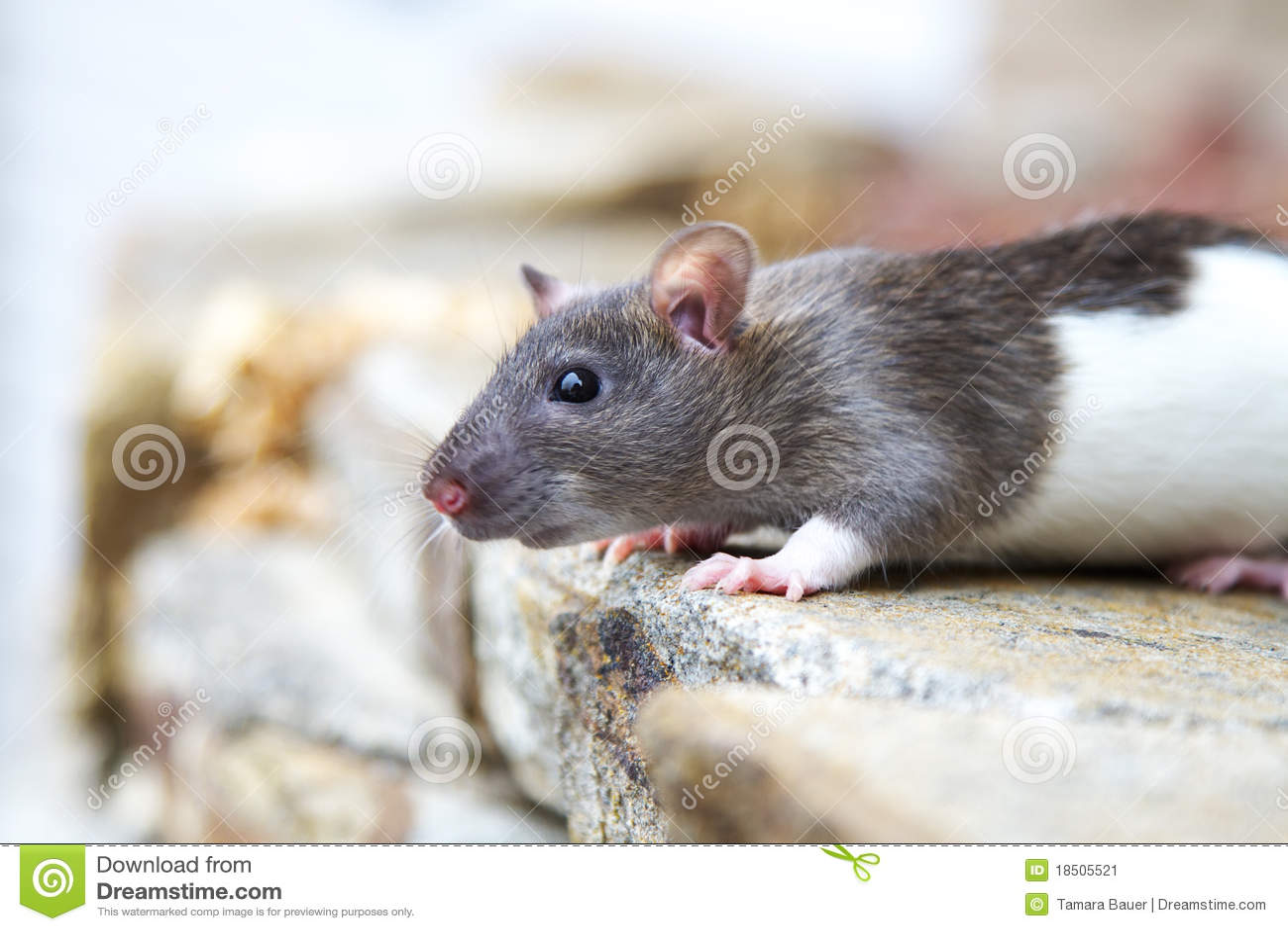 Rat à capuchon