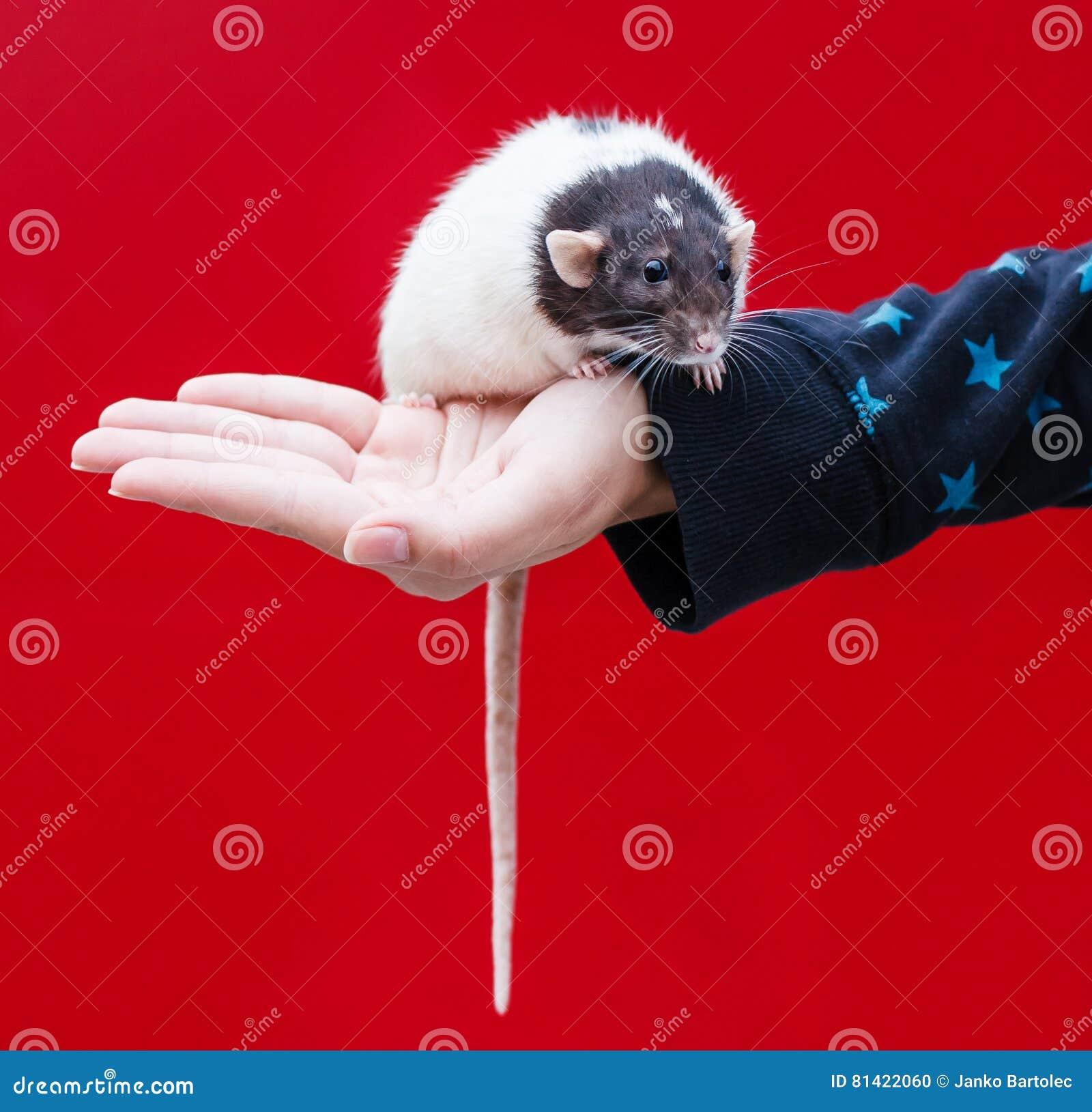 Rat à disposition
