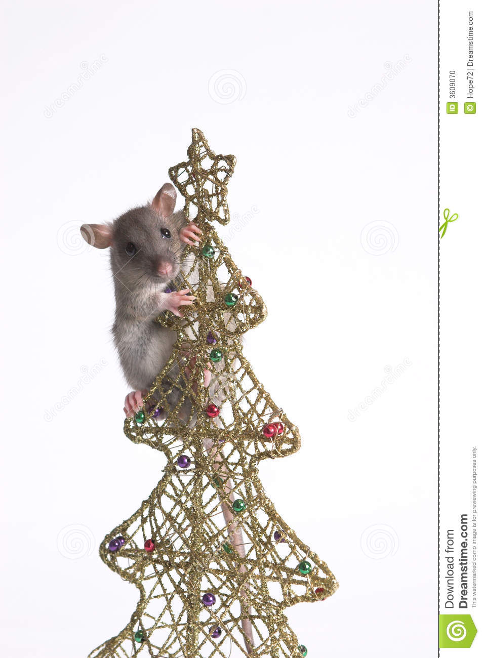 A rat stock photo. Image of white, tail, year, ears, background ...