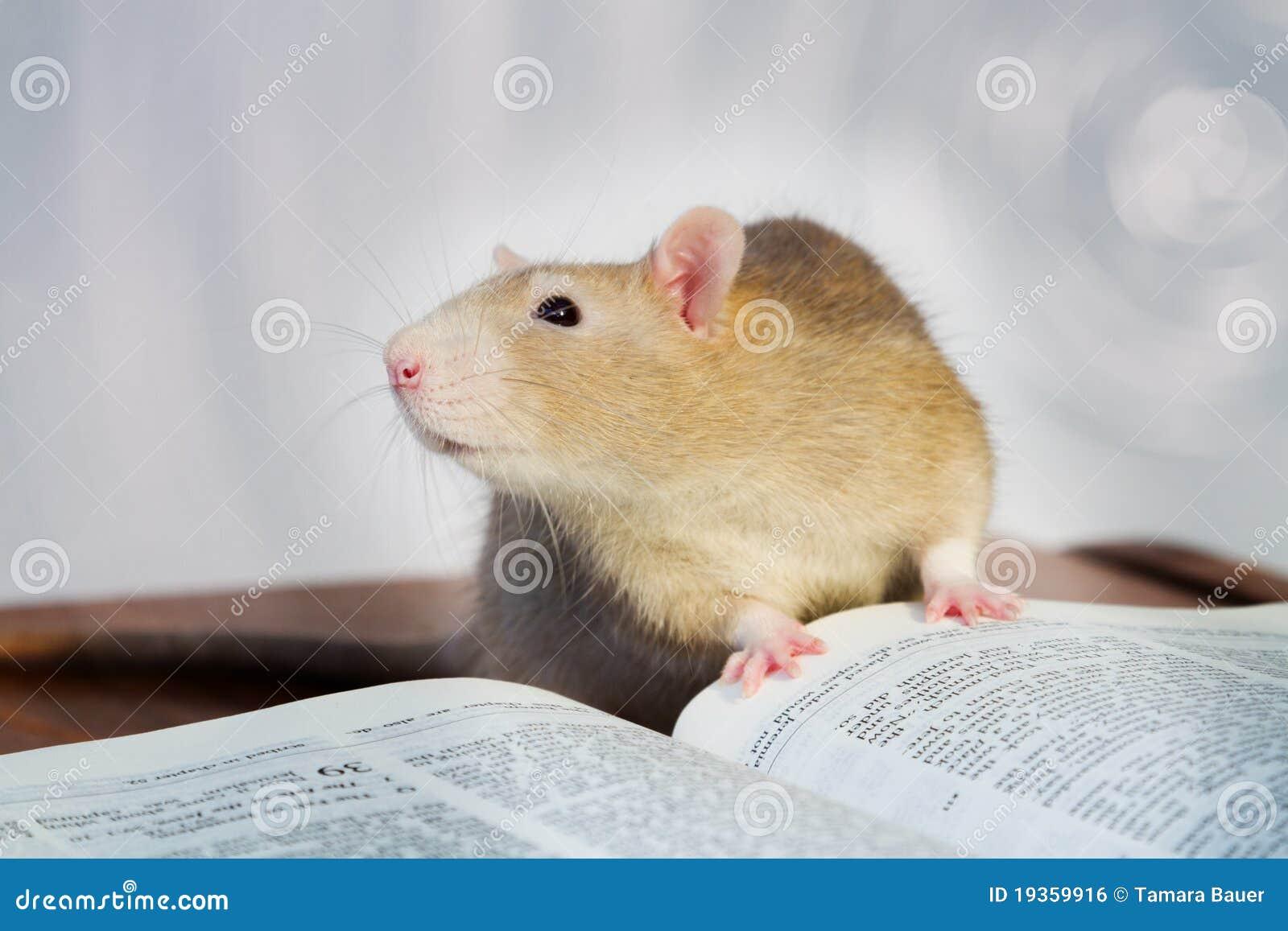 Rat avec le livre