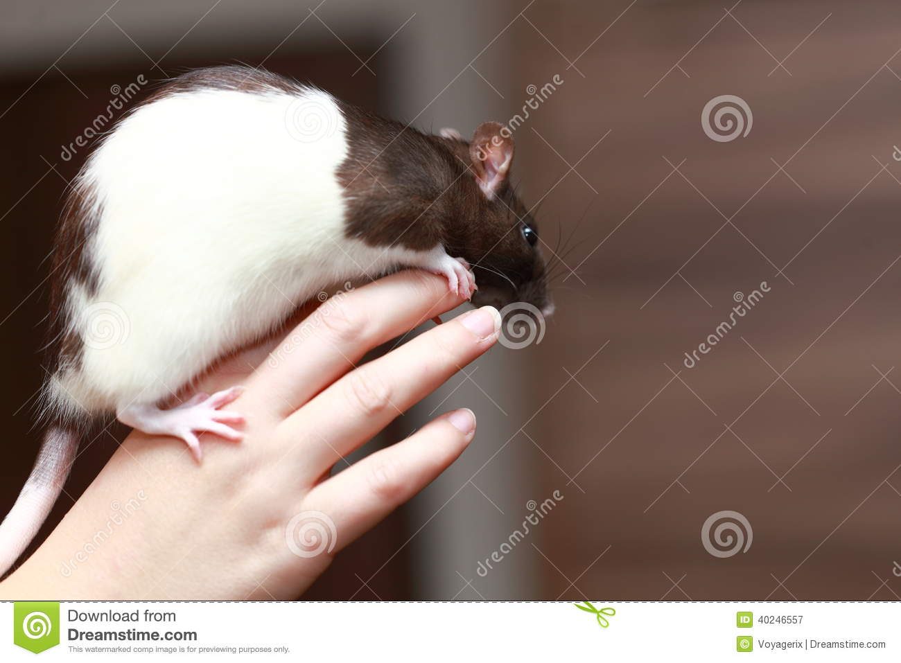 rat brun d 39 animal familier amical dans la main humaine animaux la maison photo stock image. Black Bedroom Furniture Sets. Home Design Ideas