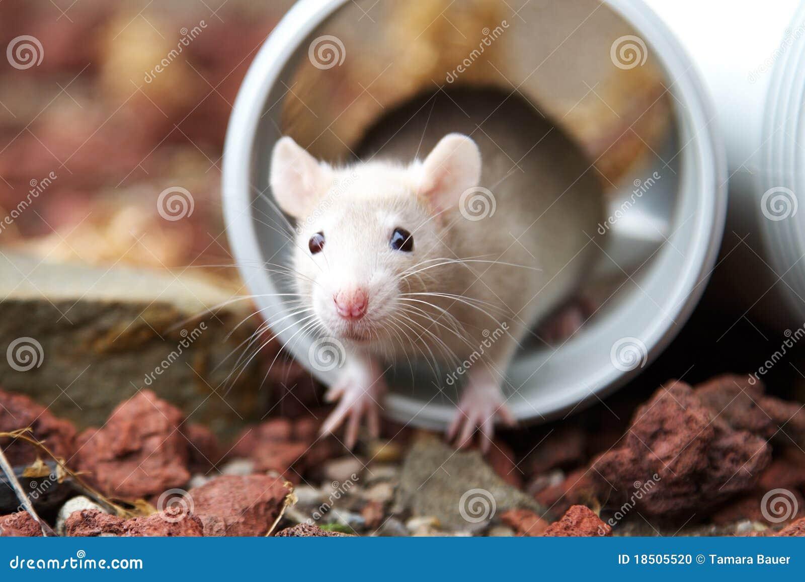 Rat crème