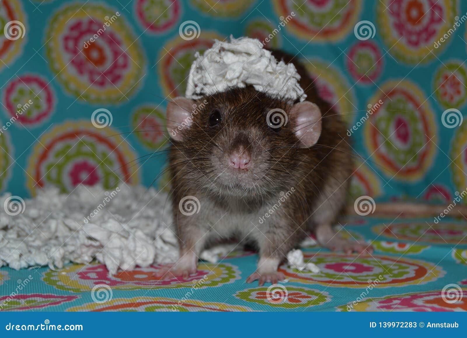 Rat d animal familier avec le papier sur la tête