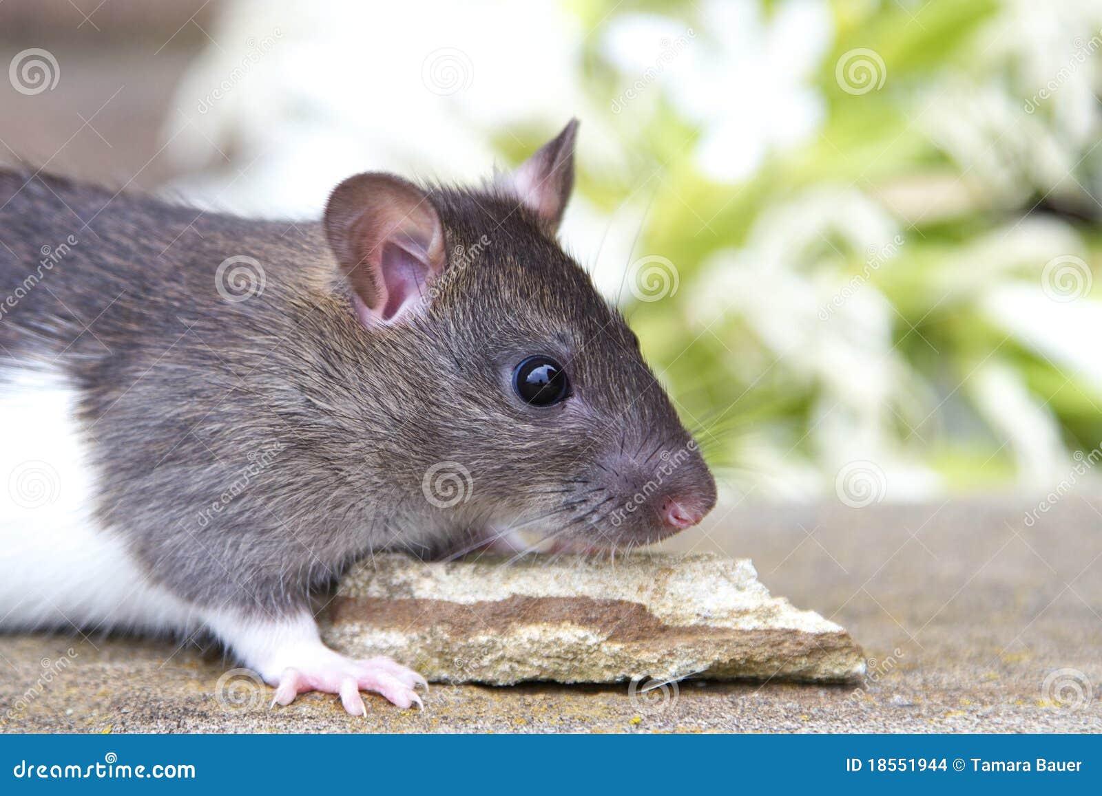 Rat de chéri