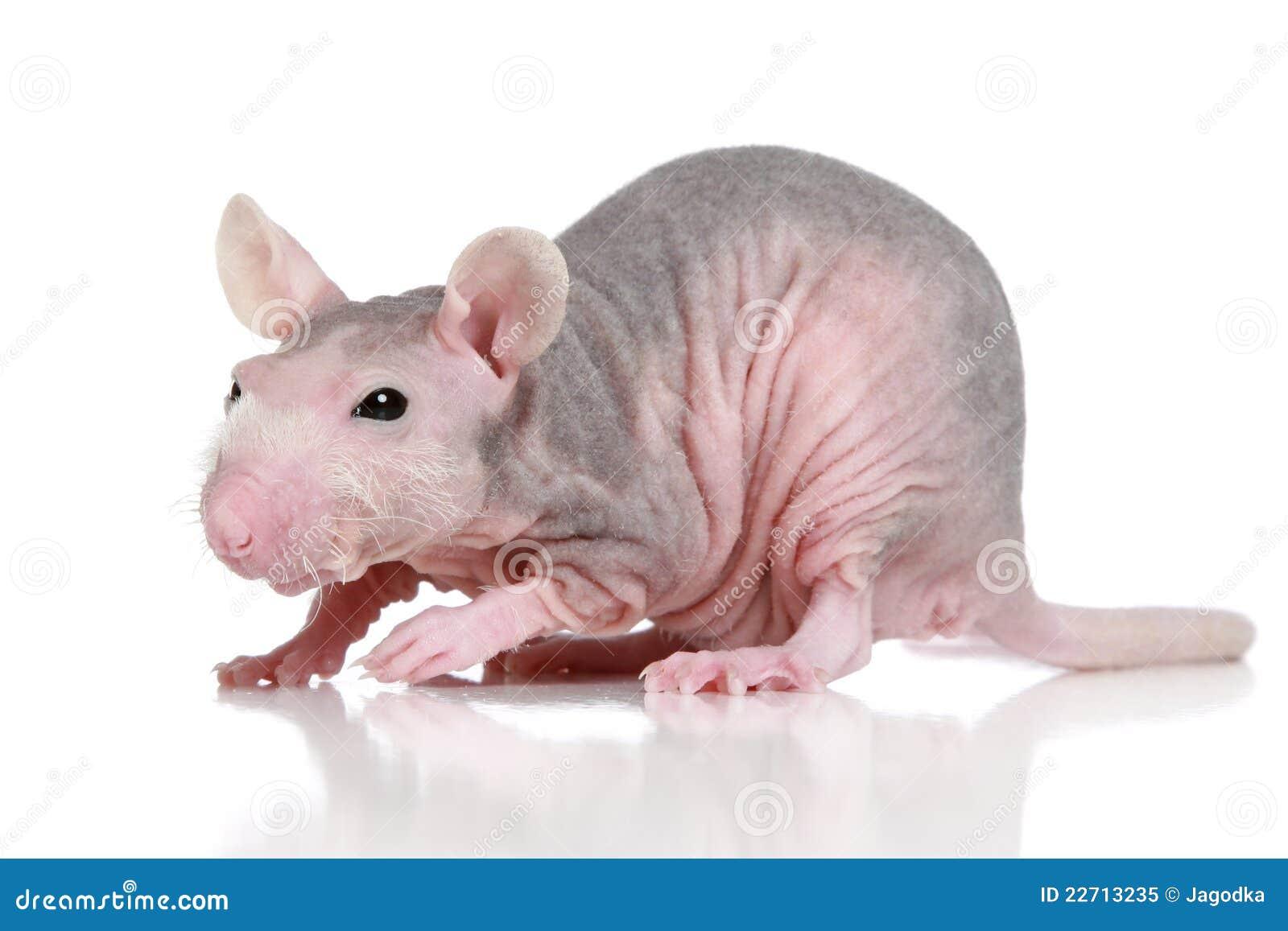 Rat De Sphynx Sur Un Fond Blanc Image Stock - Image Du -2294