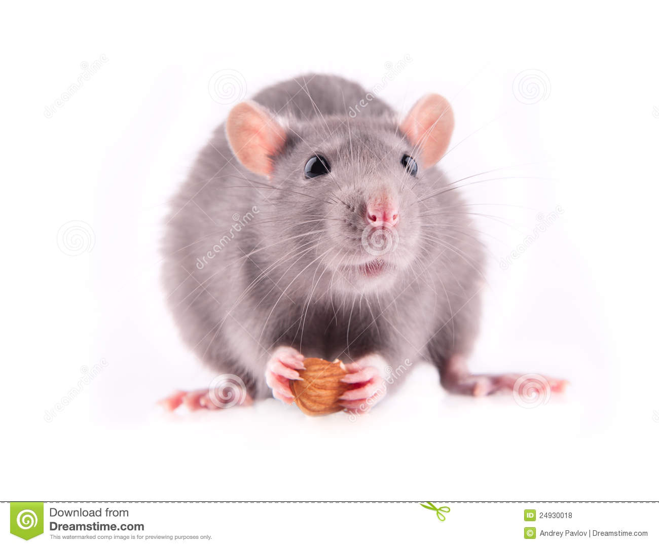rat eating almonds stock photo image  cute domestic
