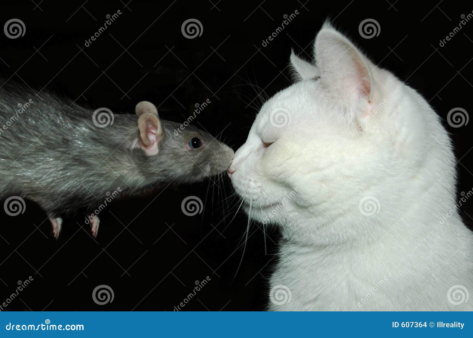 Rat en kat